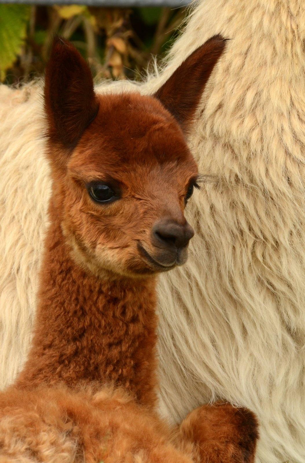 Photo in Animal #lama #baby #animal