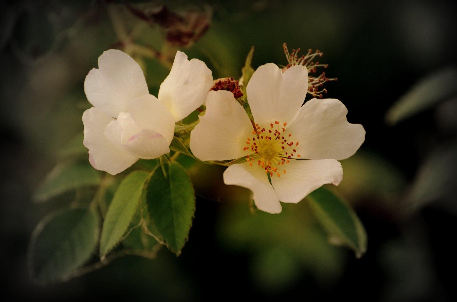 Wild Rose. by jeffdixon