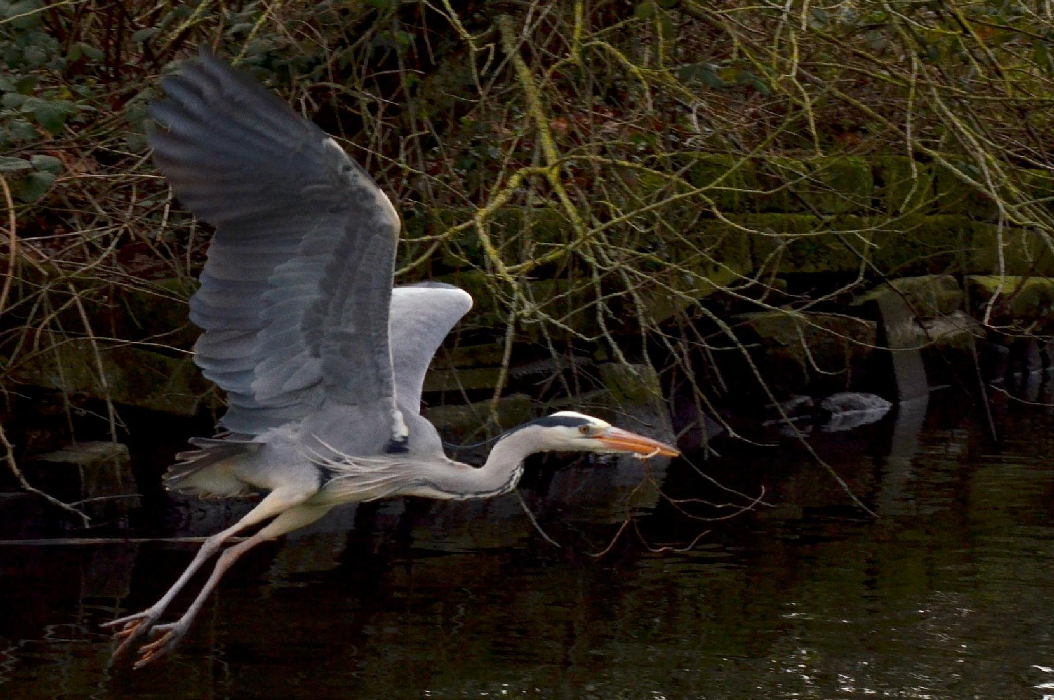 Heron collecting nesting material by jeffdixon