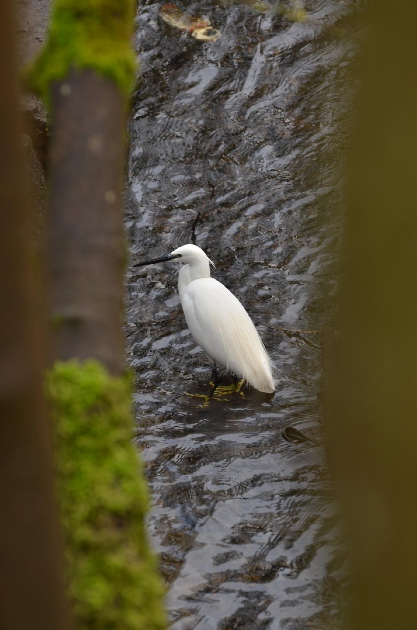 Little Egret through a tree by jeffdixon