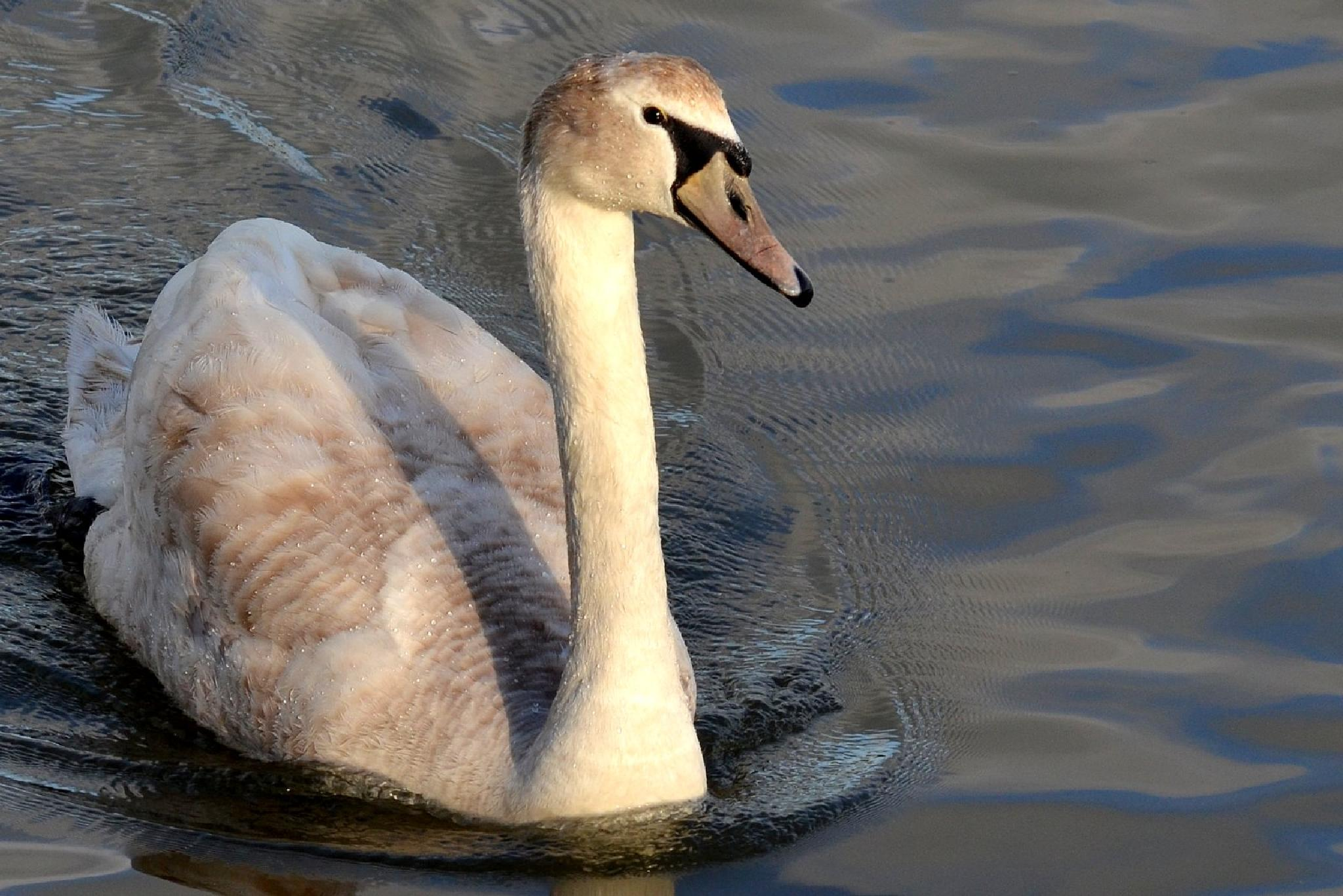 Young Mute Swan. by jeffdixon