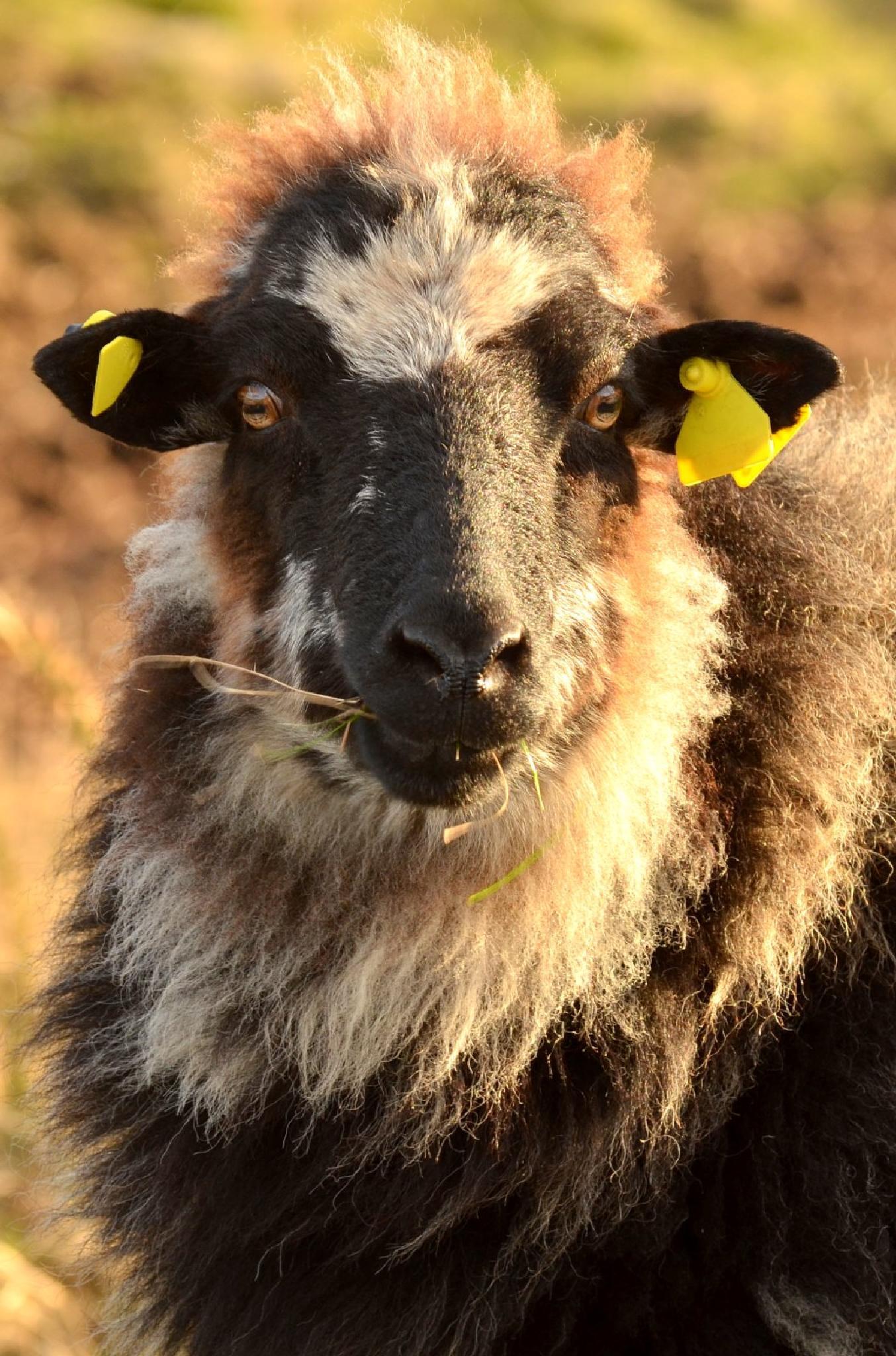 Photo in Animal #sheep #black #portrait #animal