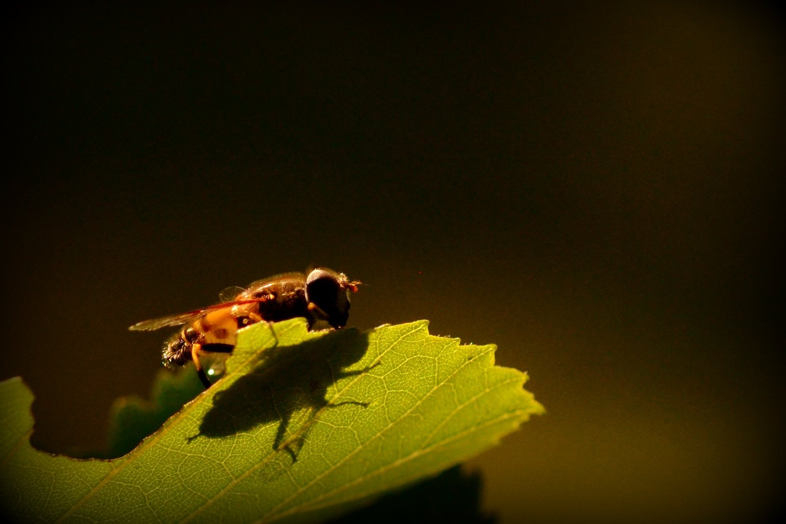 Hoverfly & Shadow by jeffdixon