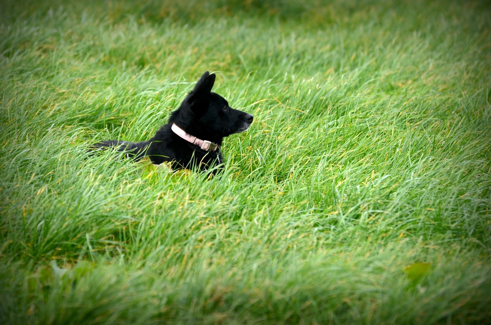 Photo in Animal #animal #dog #pet #black #crossbreed #field #grass #nikon