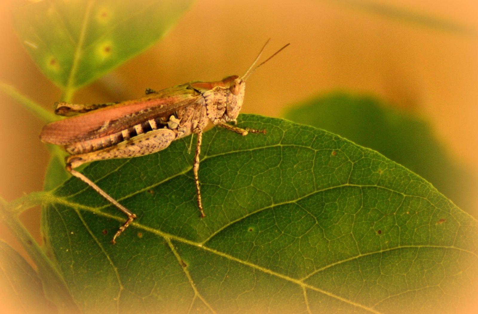 Grasshopper by jeffdixon