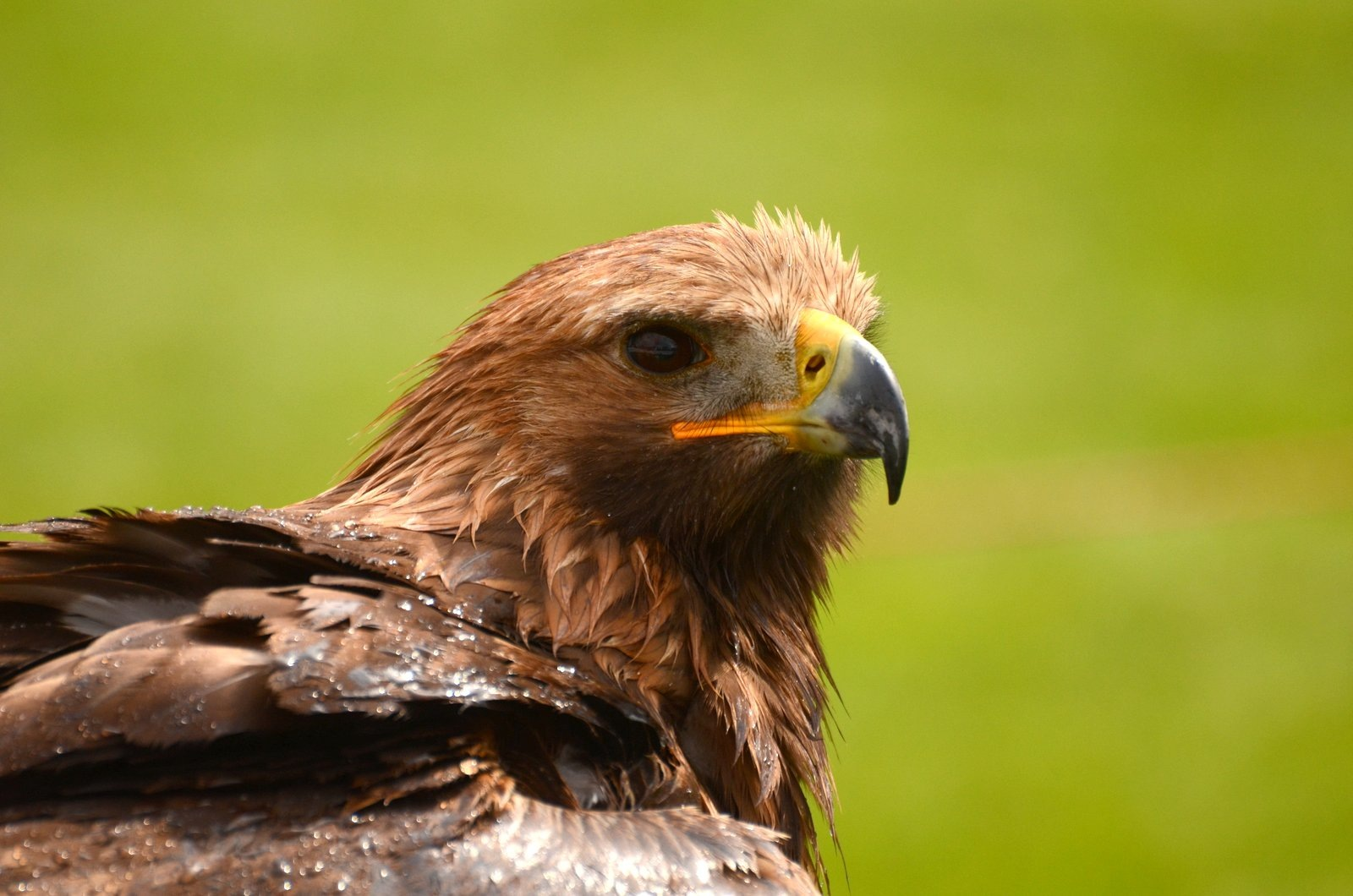 Golden Eagle Portrait by jeffdixon