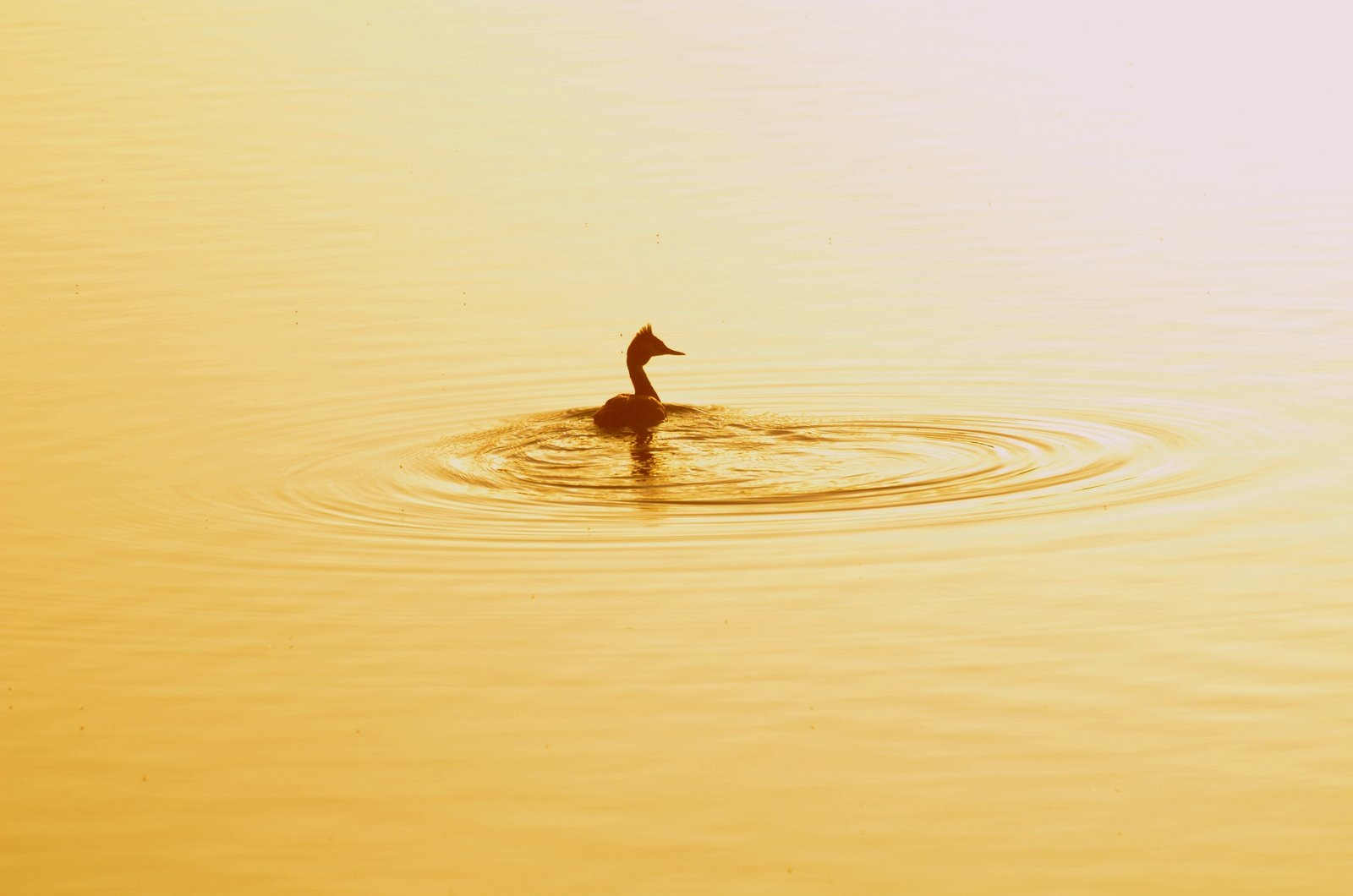 Crested Grebe by jeffdixon