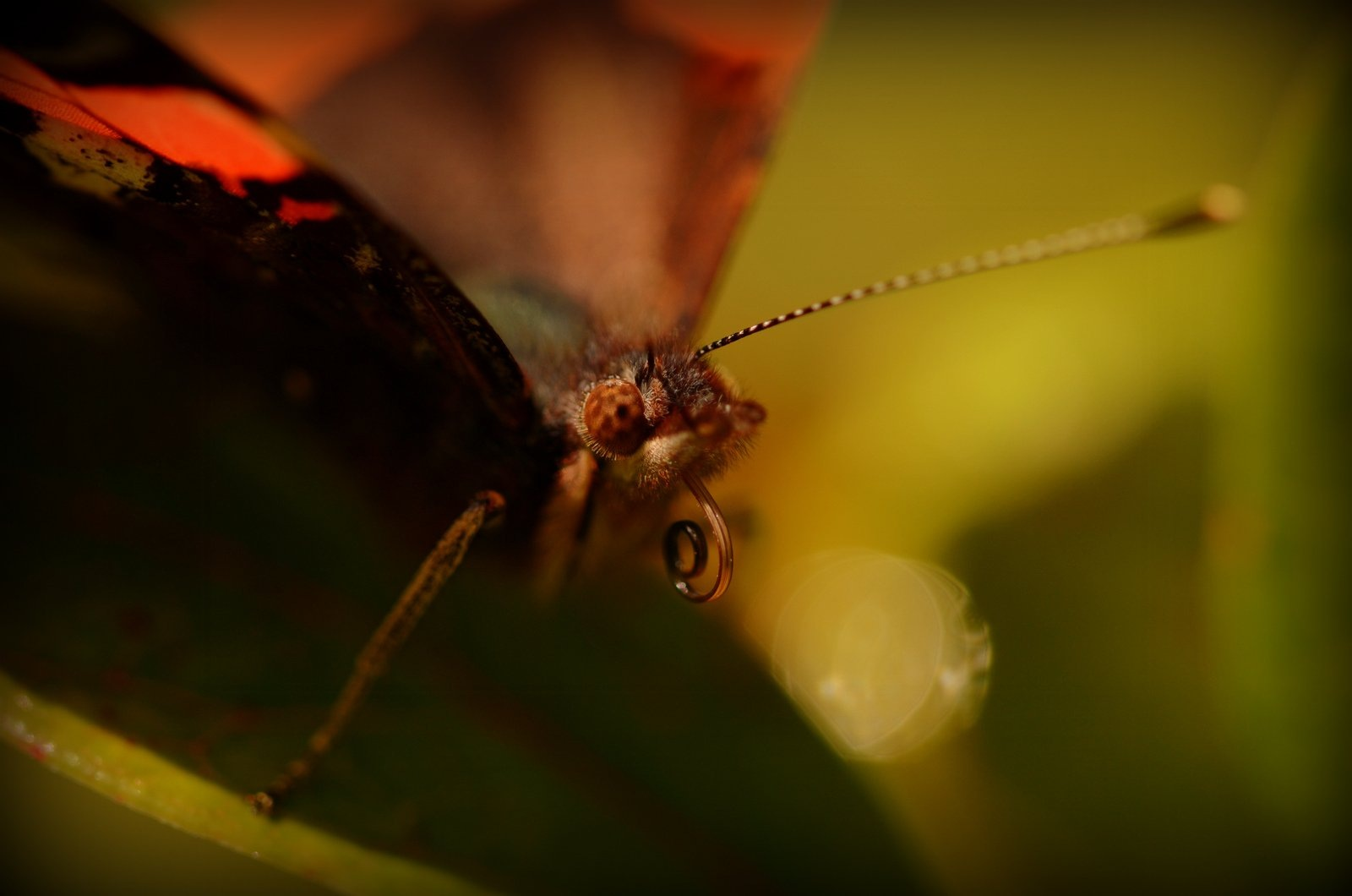 Red Admiral with its tongue out by jeffdixon