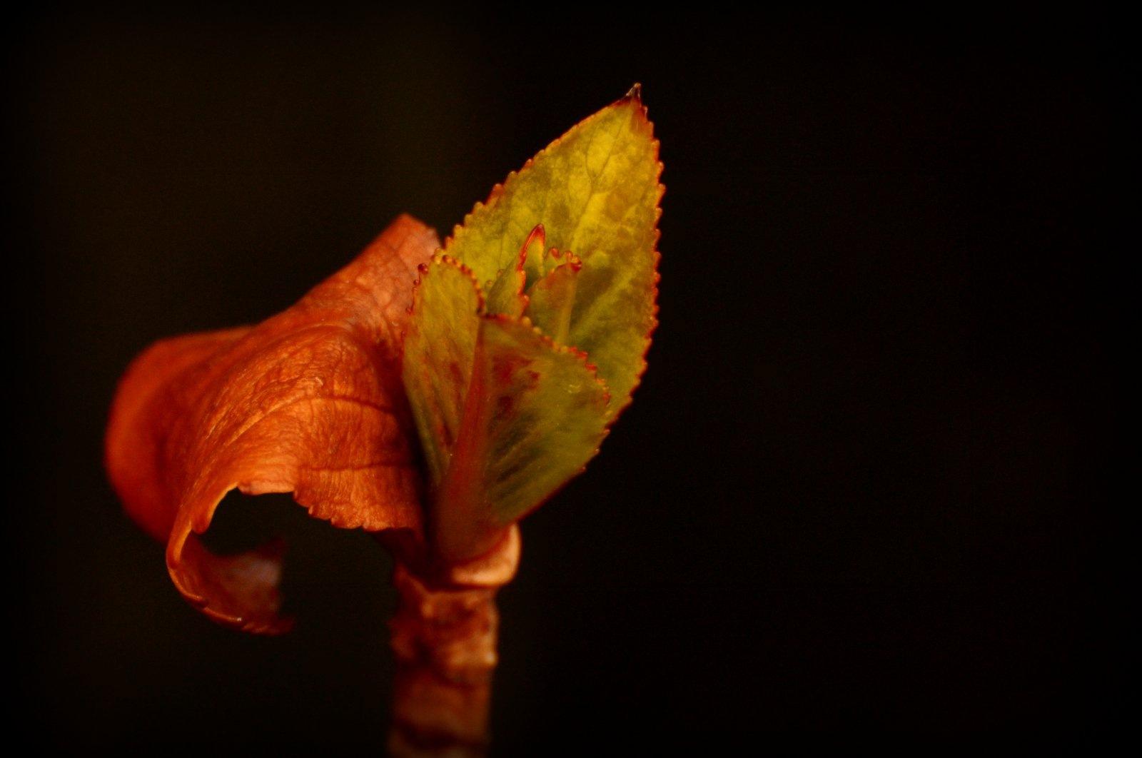 Hydrangea. by jeffdixon