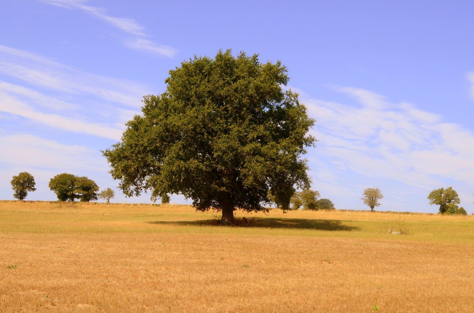 Oak in the Field by jeffdixon