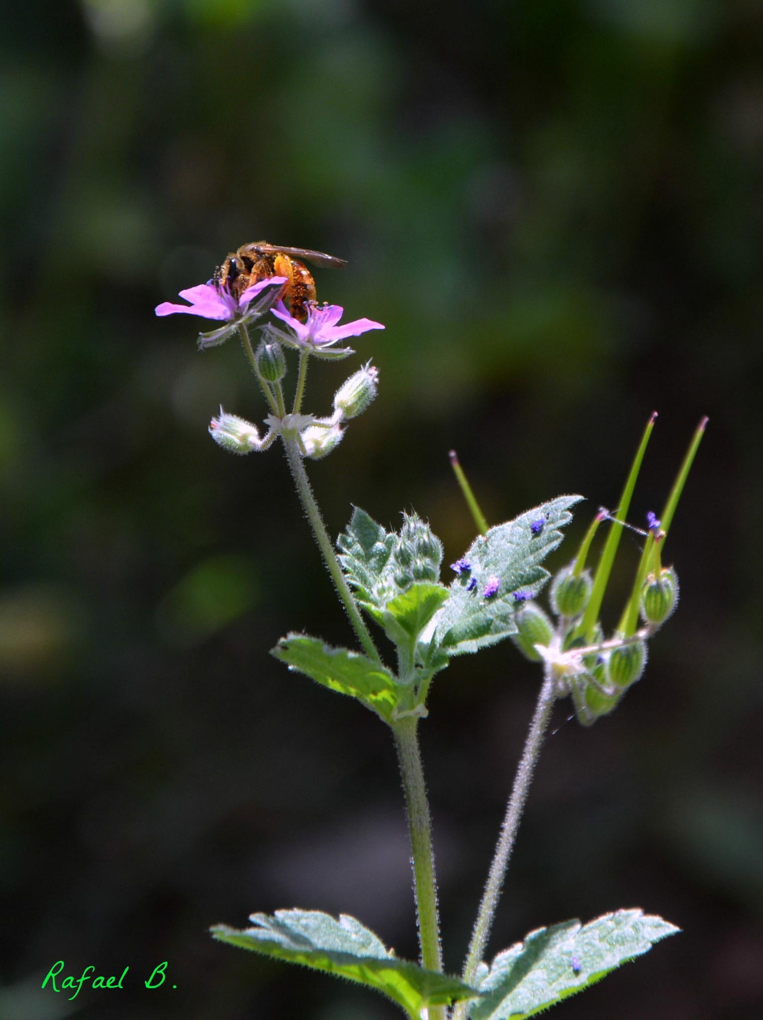 Bee by raymond.r.borenstein