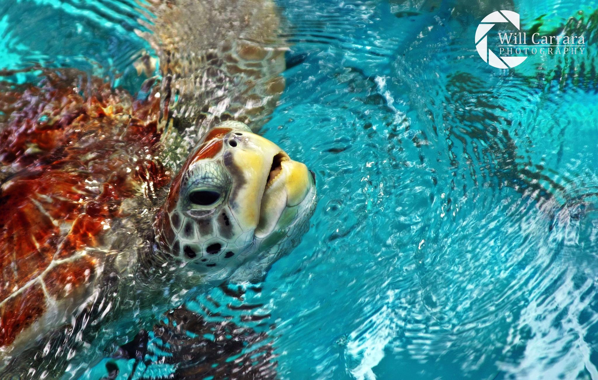 Close Turtle - Salvador\BA by Will Carrara Photographer