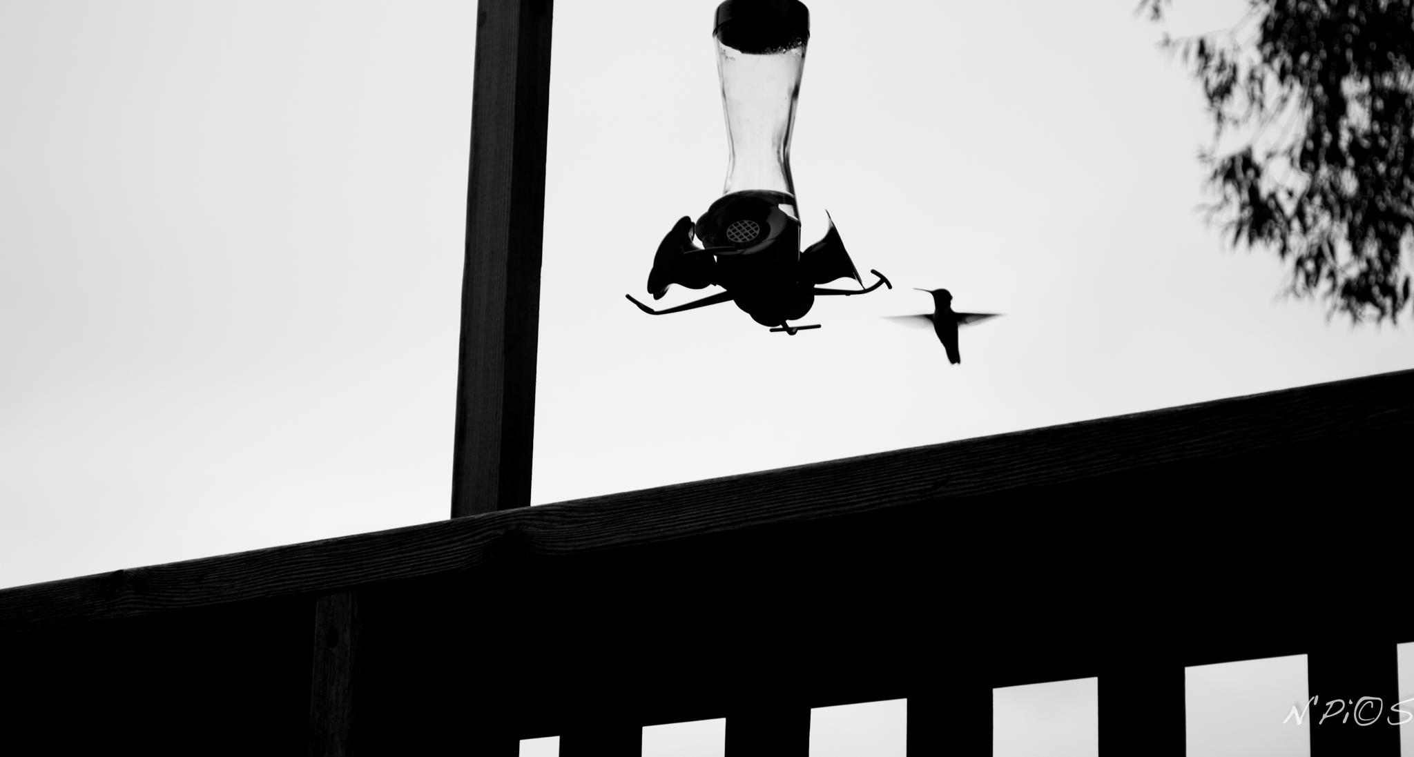 Petit Colibri by N'Pics