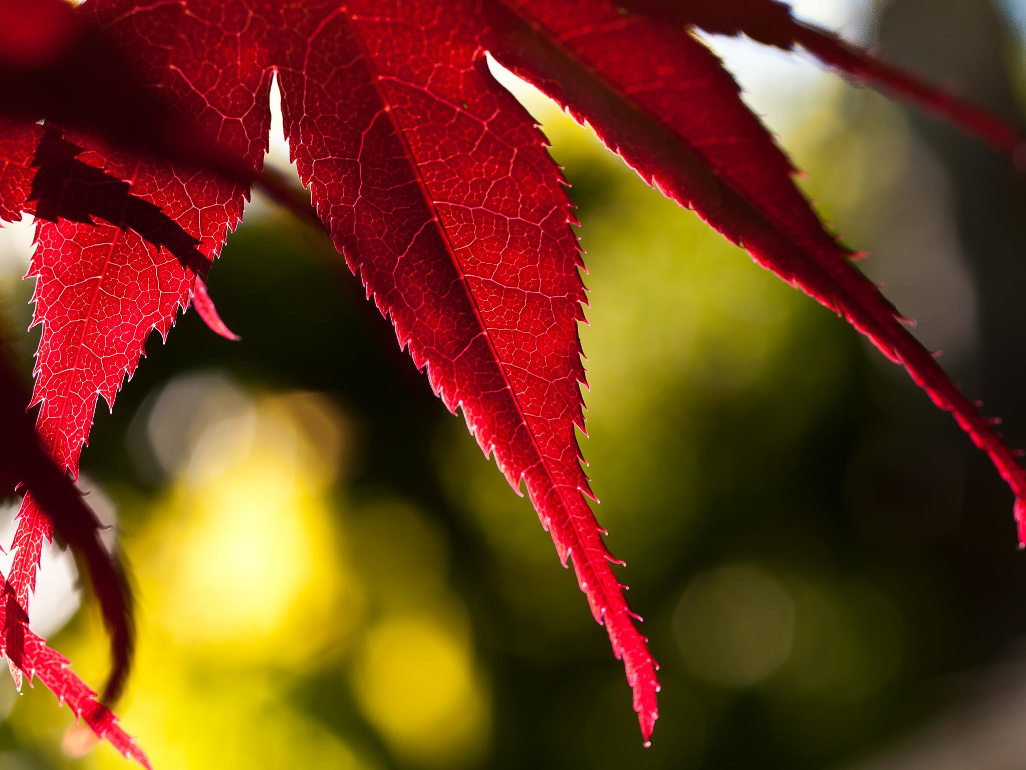 Japanese maple by Peter Edwardo Vicente.