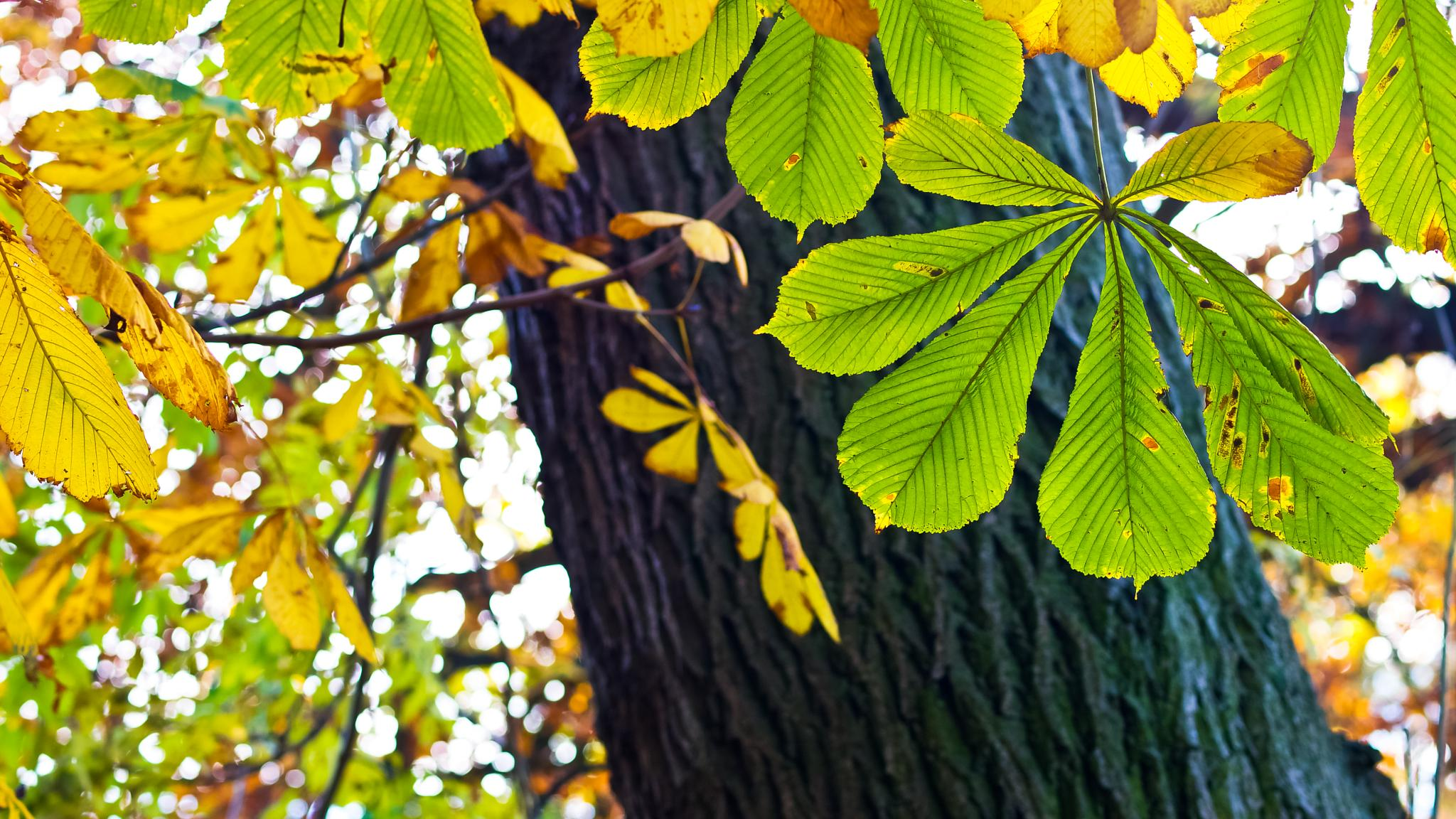 Horse Chestnut by Peter Edwardo Vicente.