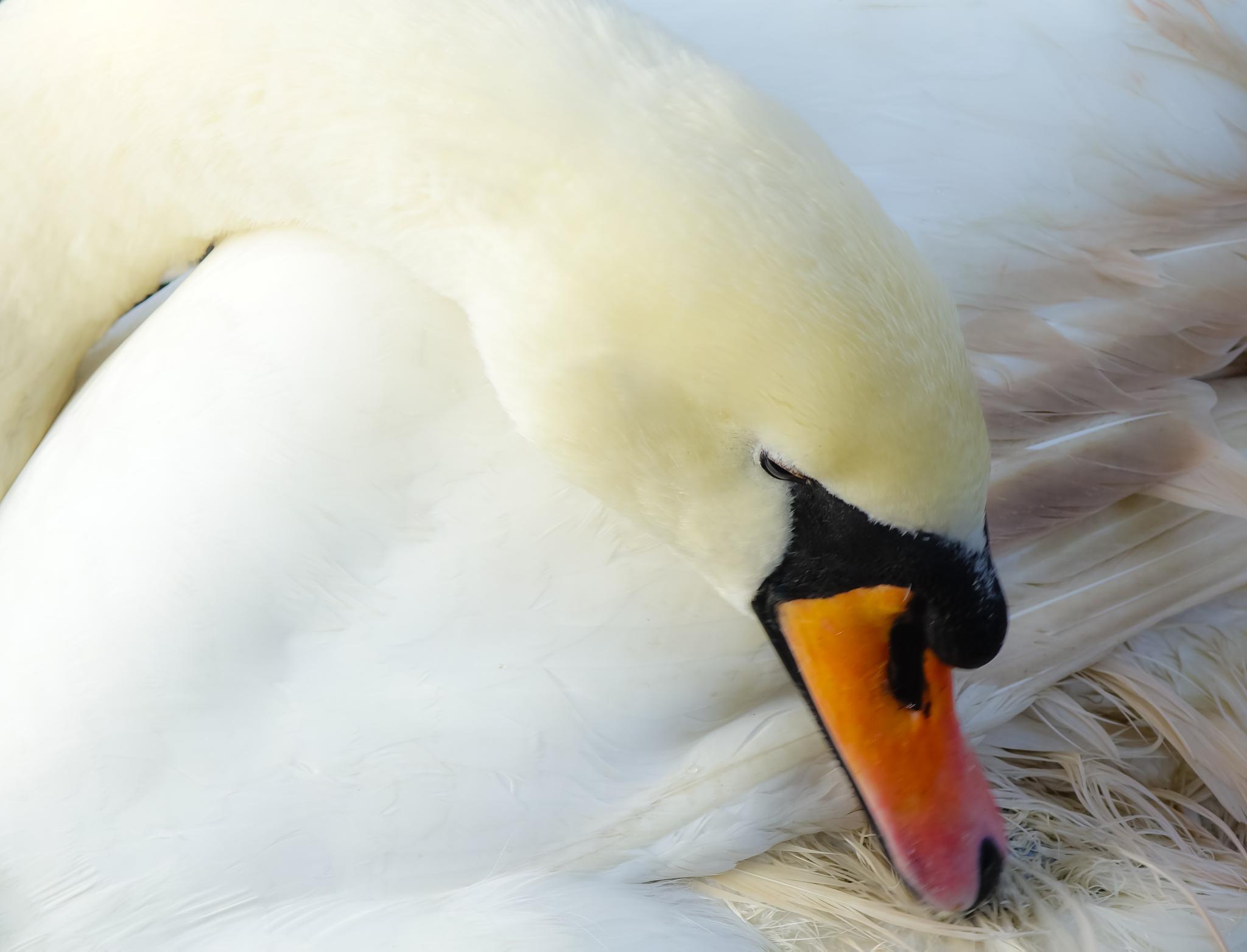 Swan by Peter Edwardo Vicente.