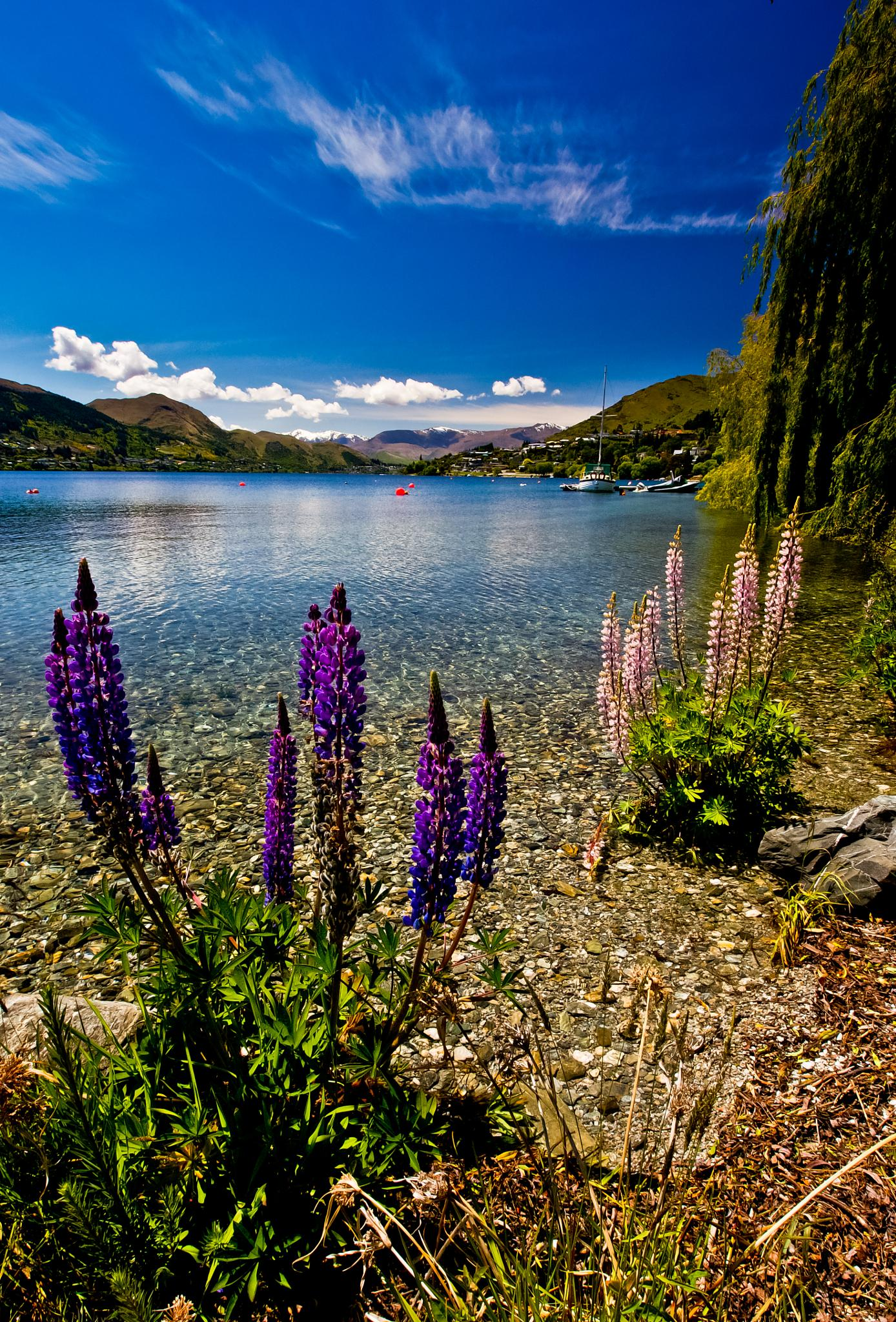Lupins by Peter Edwardo Vicente.