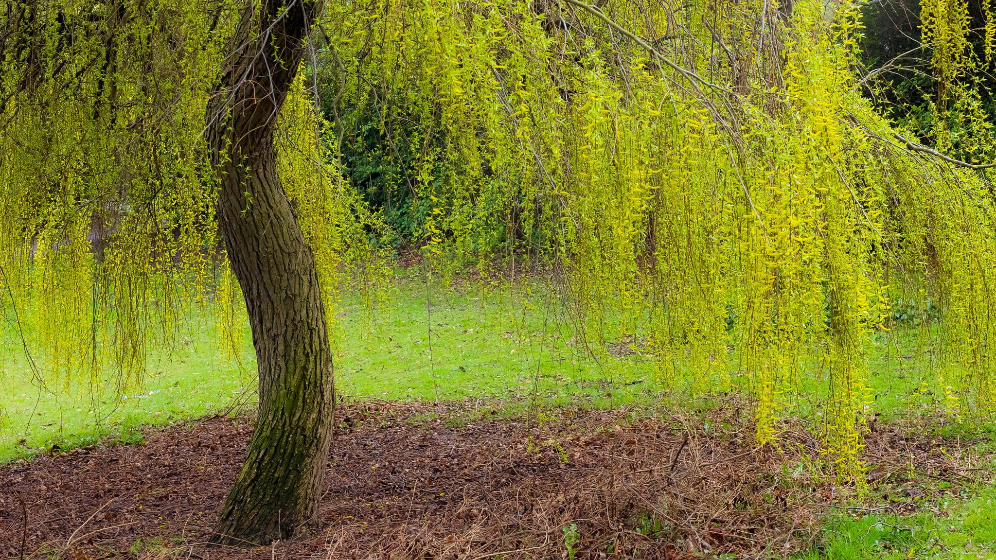 Willow by Peter Edwardo Vicente.