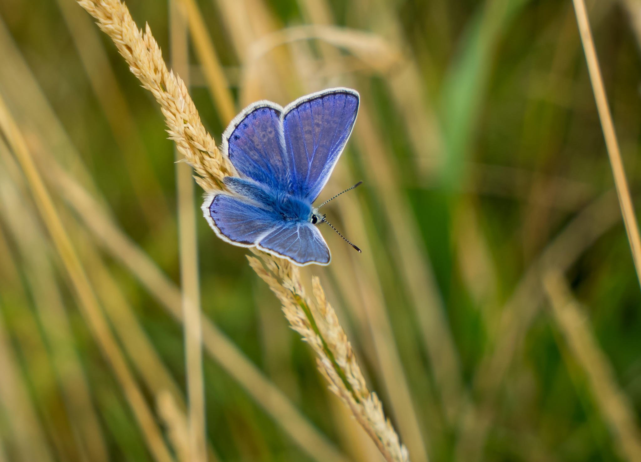 Common Blue by Peter Edwardo Vicente.
