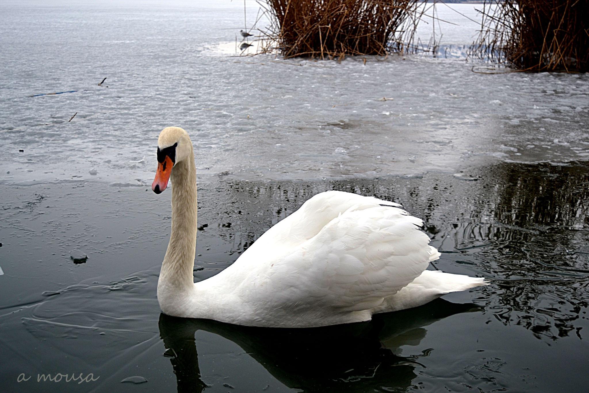 swan in the frozen lake! by alexandra.tsamimousa