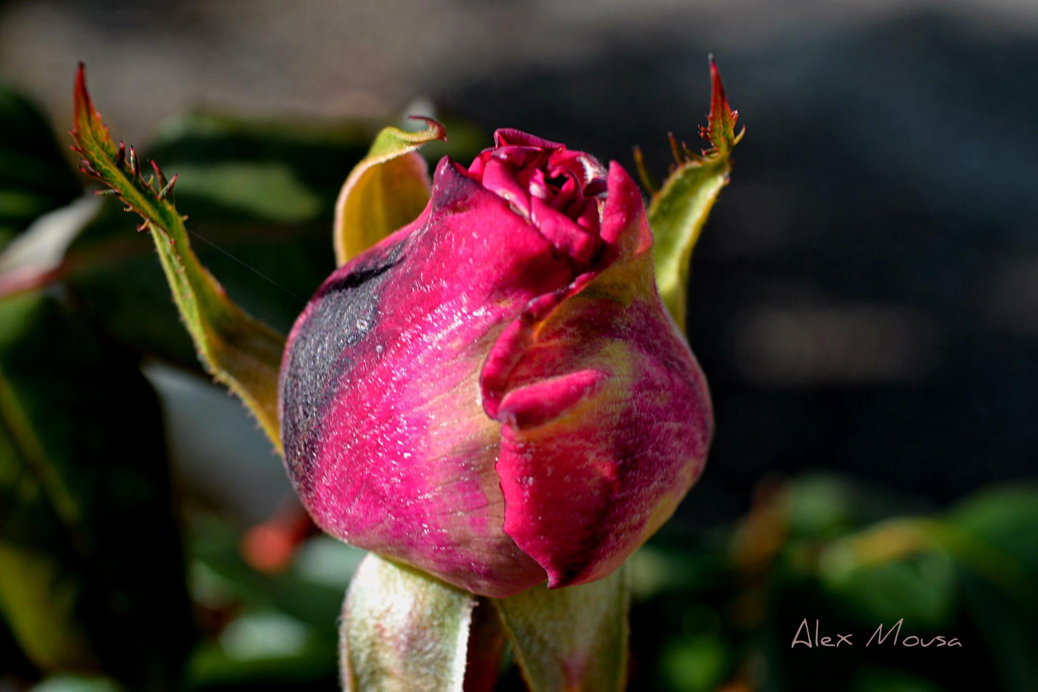 red rose bud by alexandra.tsamimousa