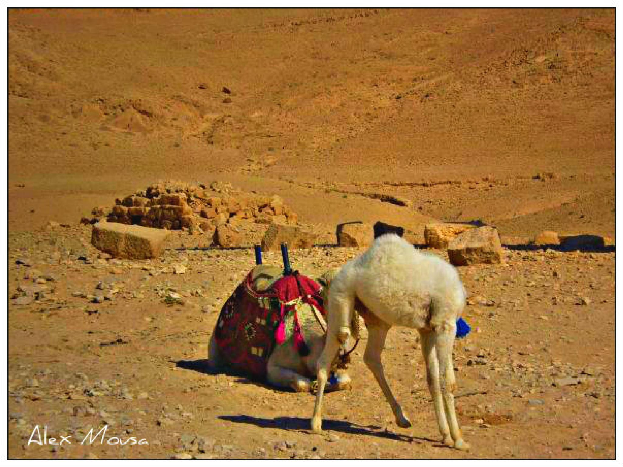 camels at Palmyra desert by alexandra.tsamimousa