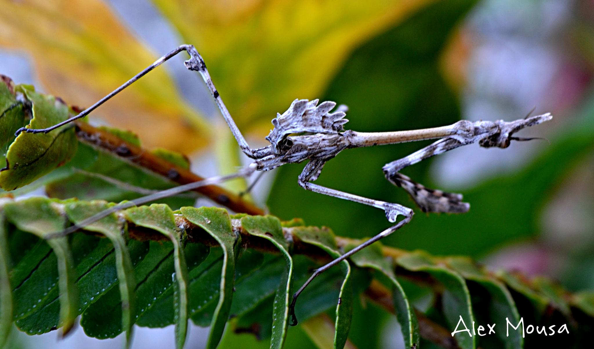 strange insect by alexandra.tsamimousa
