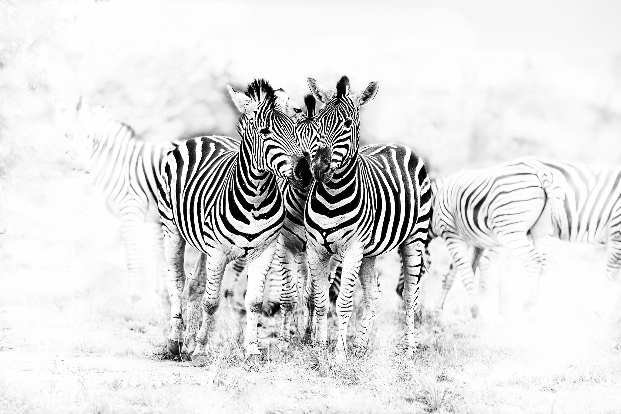 Photo in Random #zebras #mammals #herbivors #wild #outdoor #safari #striped #black and white #africa #savannah