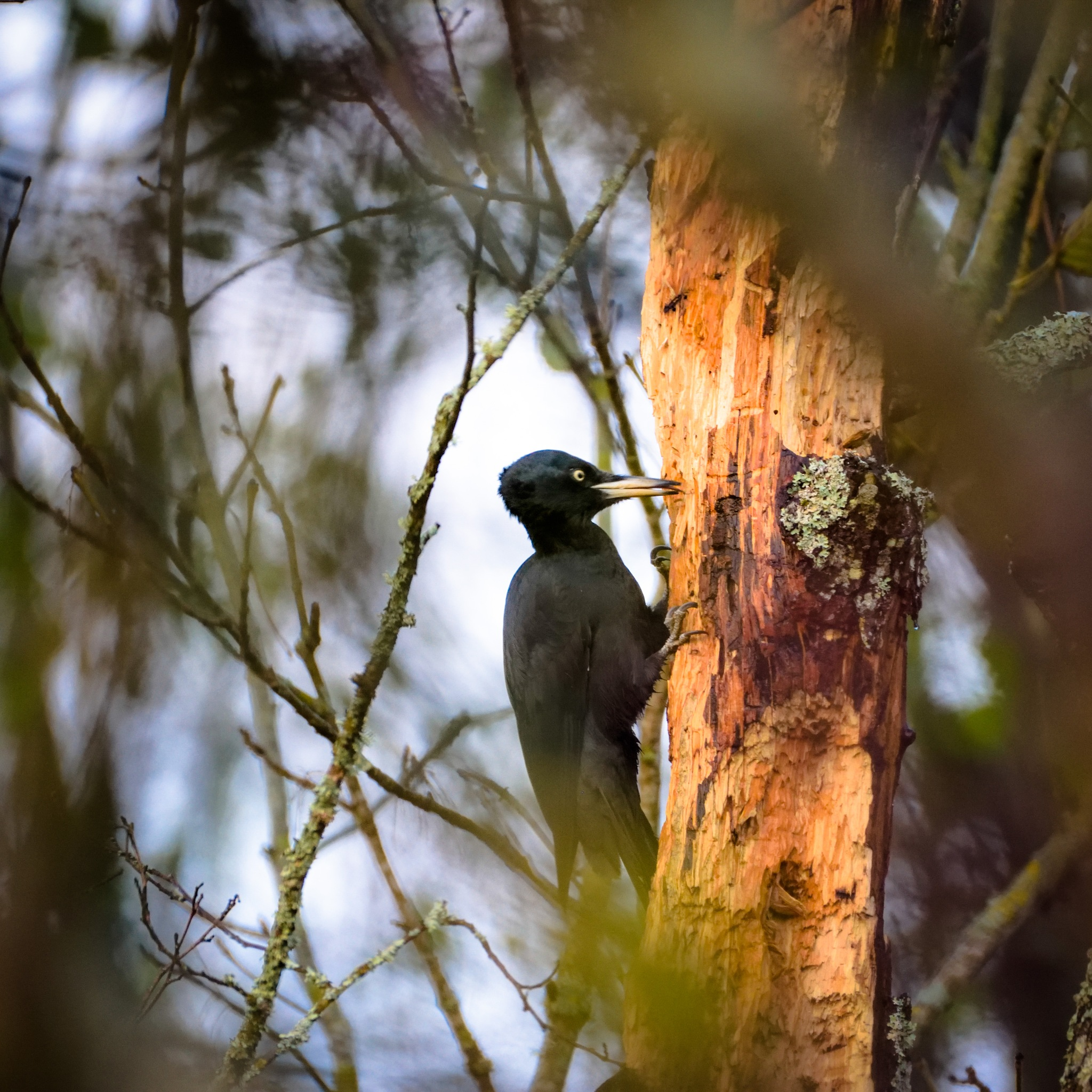 Dryocopus martius / Black Woodpecker / Schwarzspecht / Чёрный дятел by Art Wind