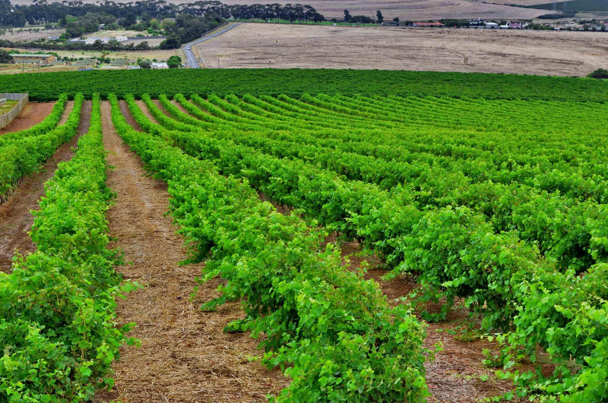 Vineyard Landscape by Glenn Gerard