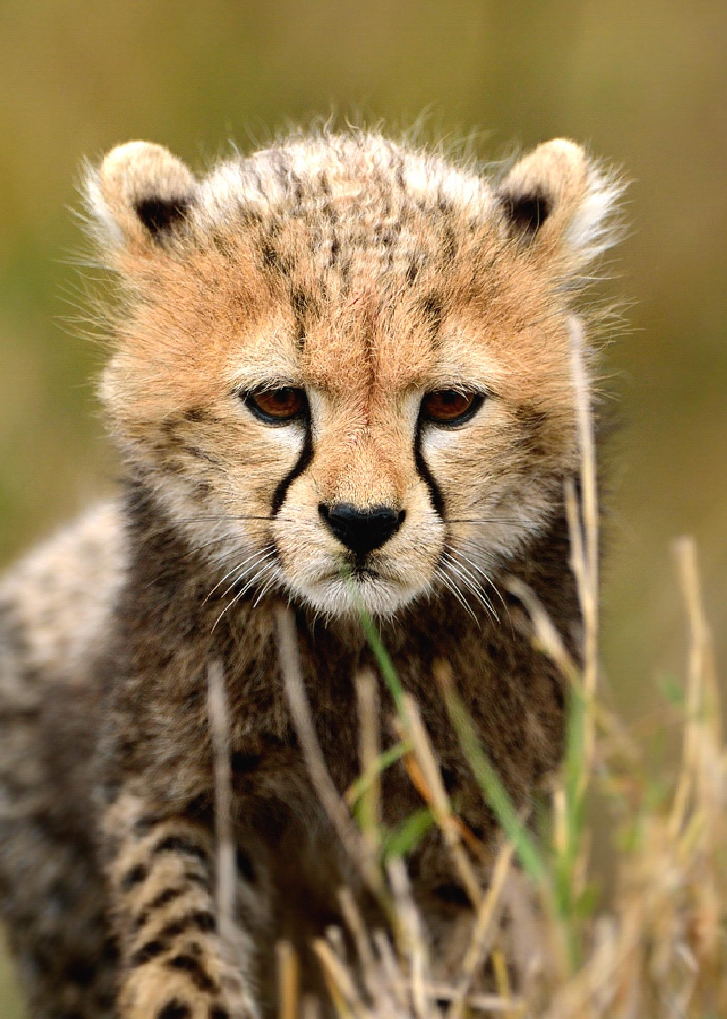 Kenya - baby cheetah by Pascale Froment
