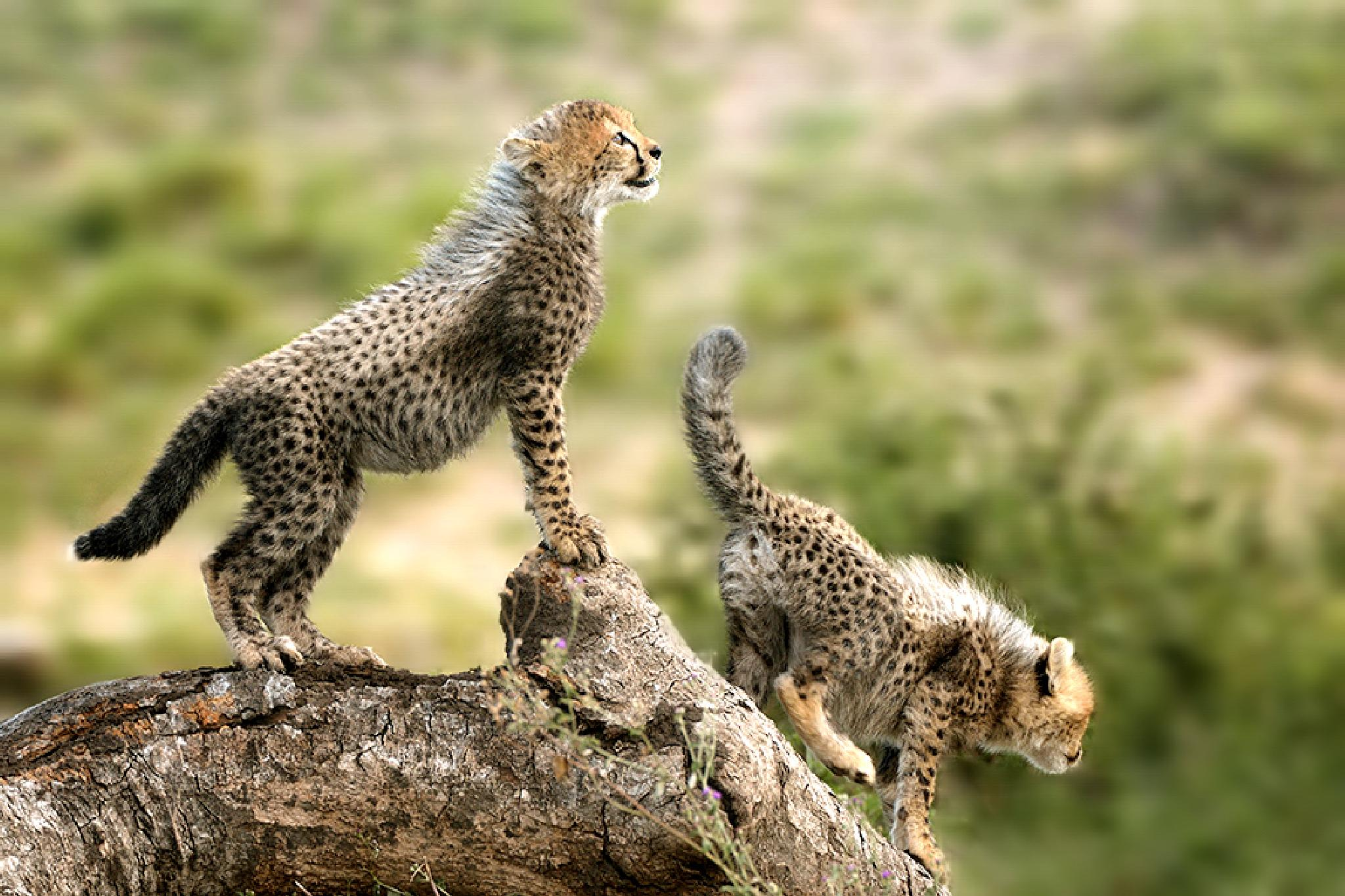Kenya - cheetah by Pascale Froment