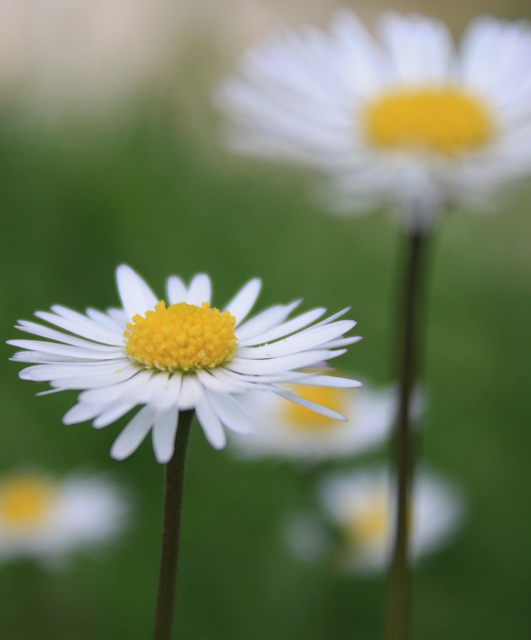 Daisy Daisy by cathywarne3