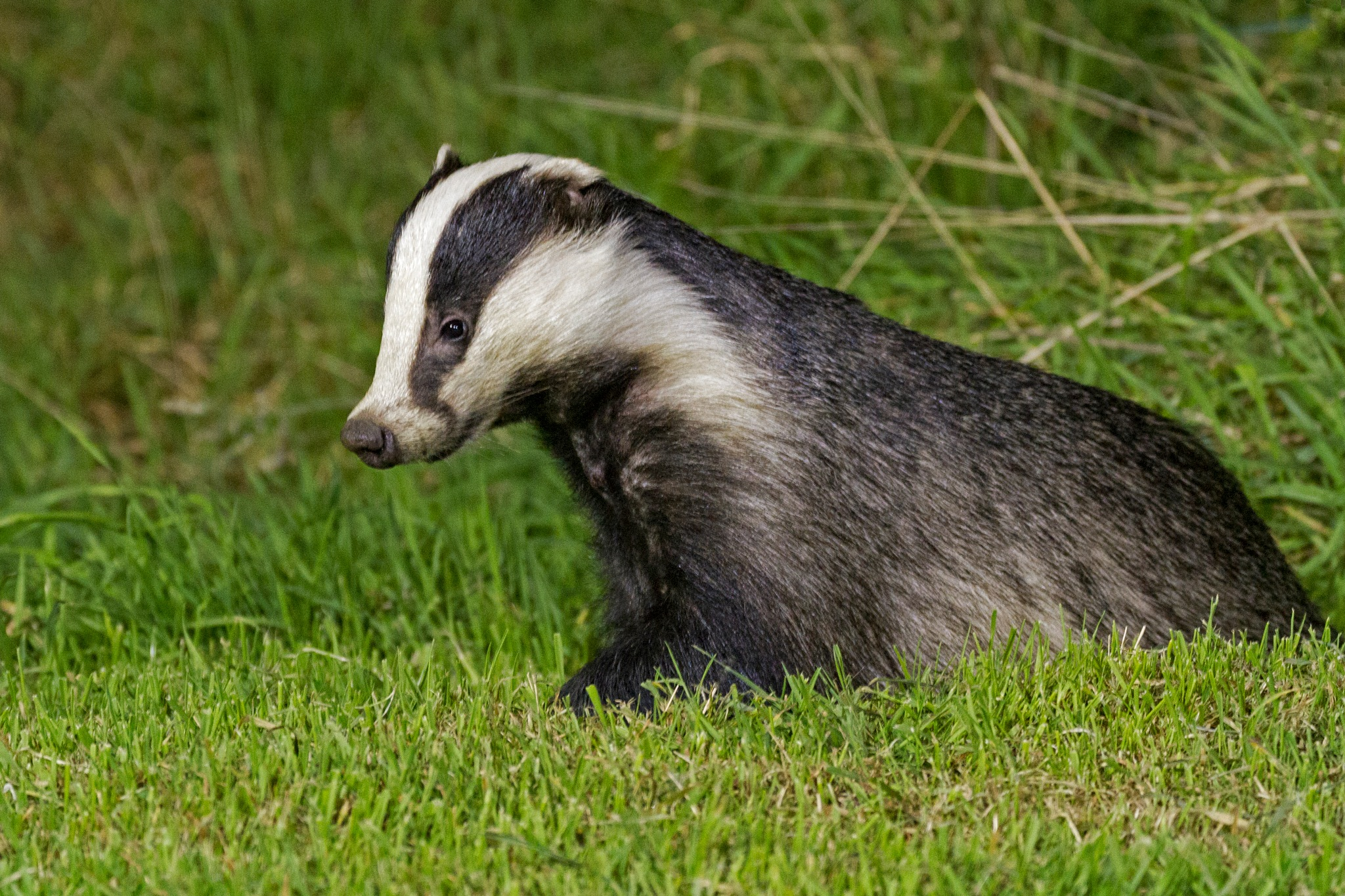Badger by cathywarne3