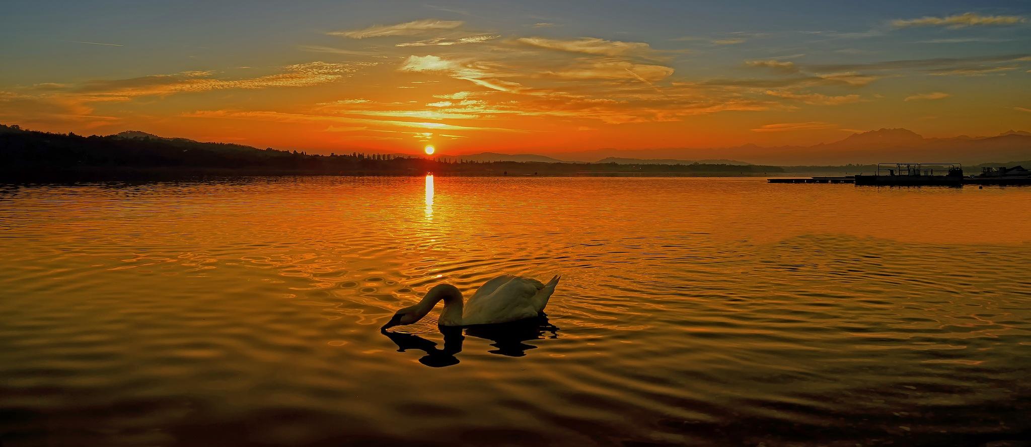 The Swan by erino.gualberto
