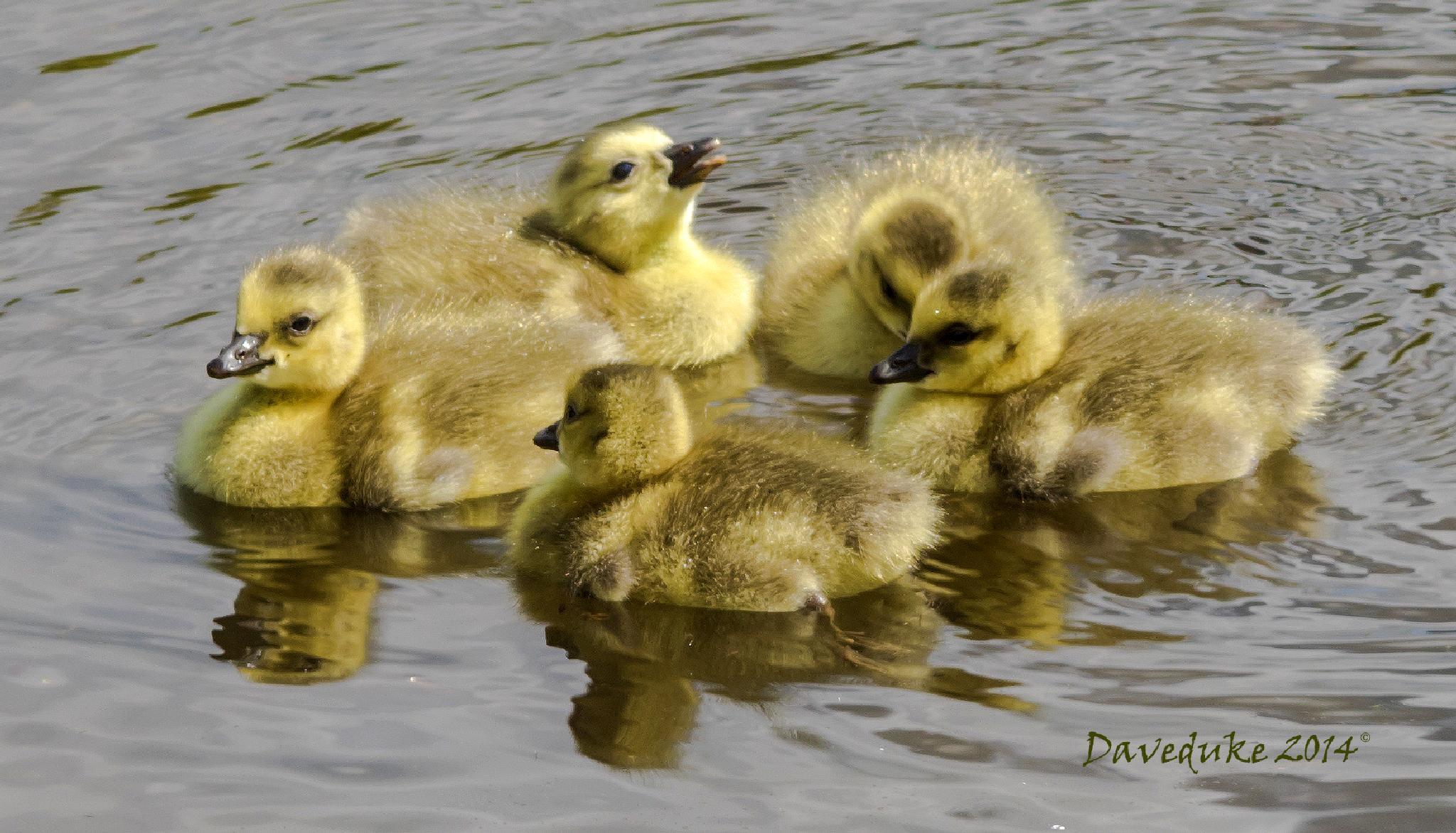Goslings at Lyme Park.  by daviddukesell