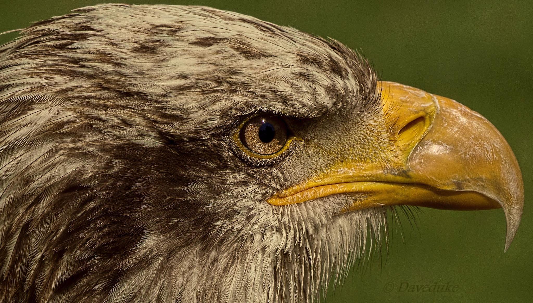 Photo in Nature #eagle bird of prey #eagle #beak