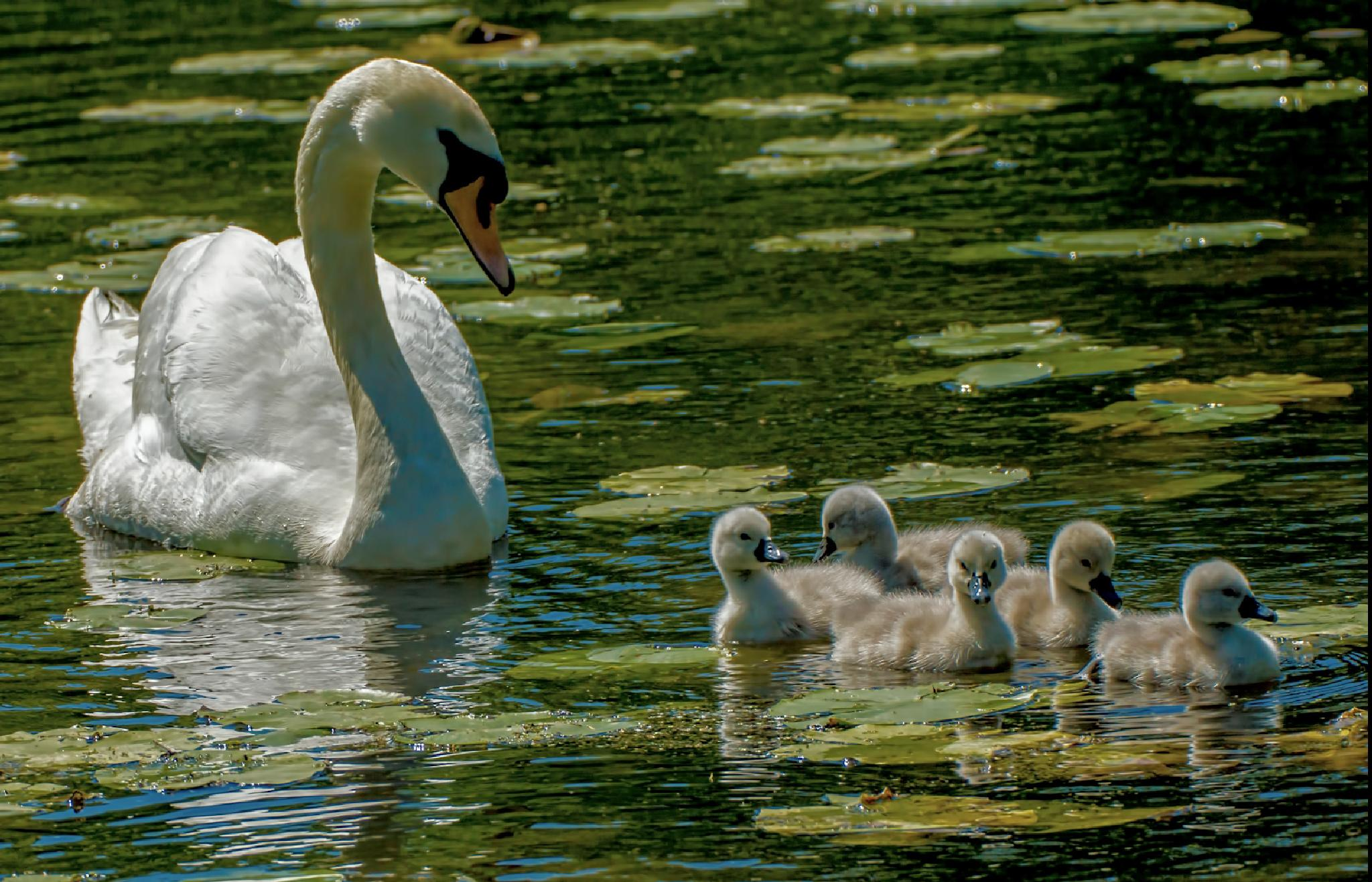 Photo in Nature #swan #cygnets #sony a77v #sigma 180mm