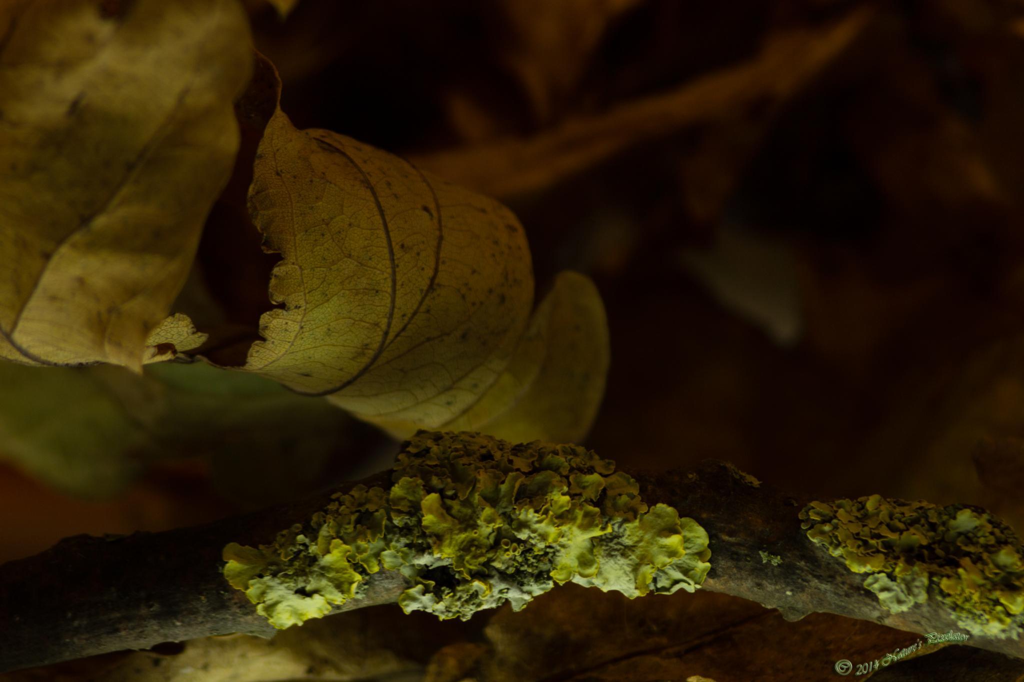 Photo in Macro #lichens liverworts #oak leaves #macro #autumnal #leaves #nature