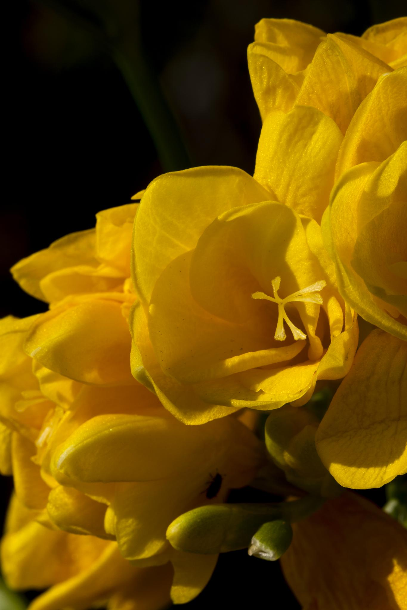 Photo in Macro #freesia #flowers #flower buds #stamens #yellow #nature