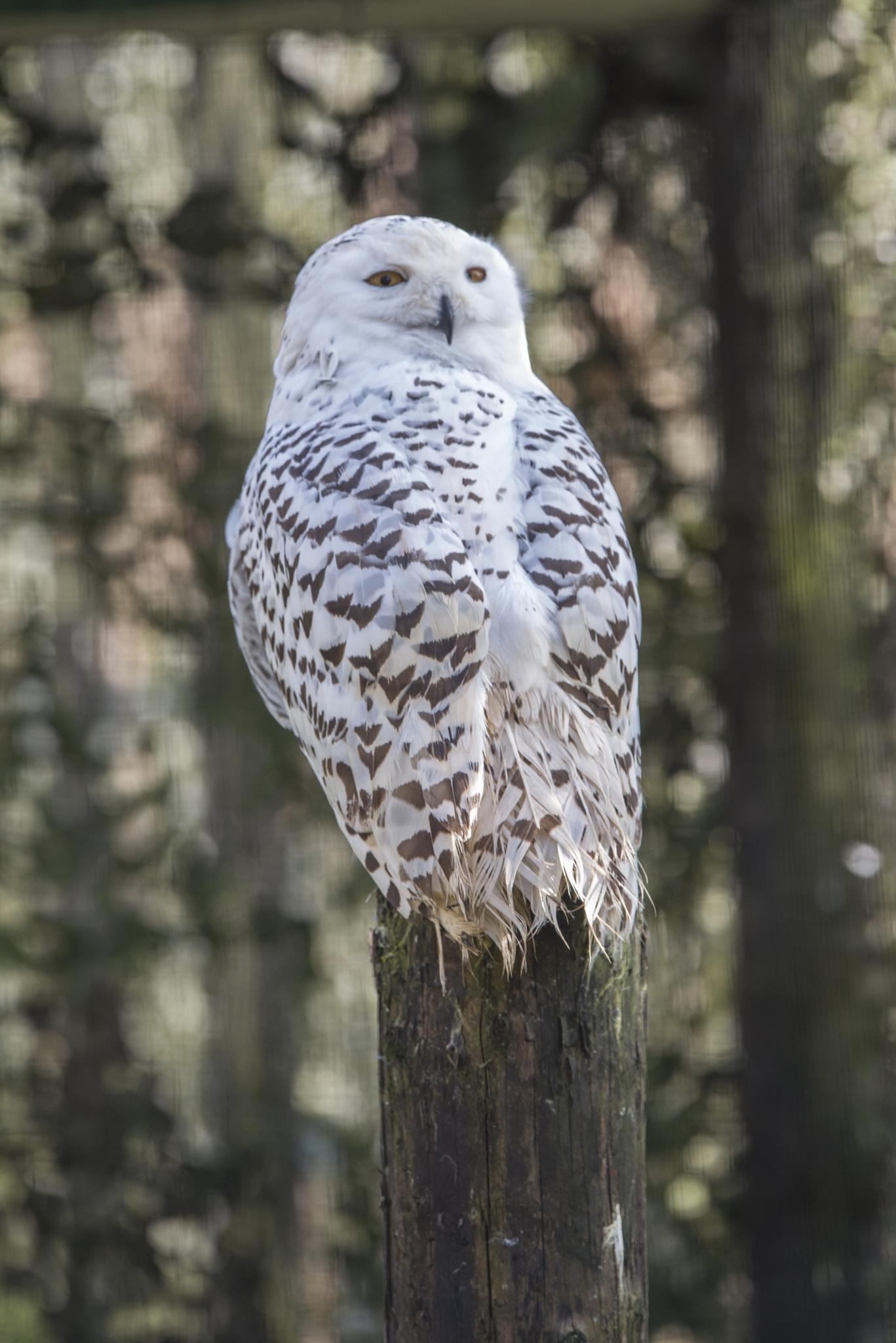 Owl by Zoltan Kovacs