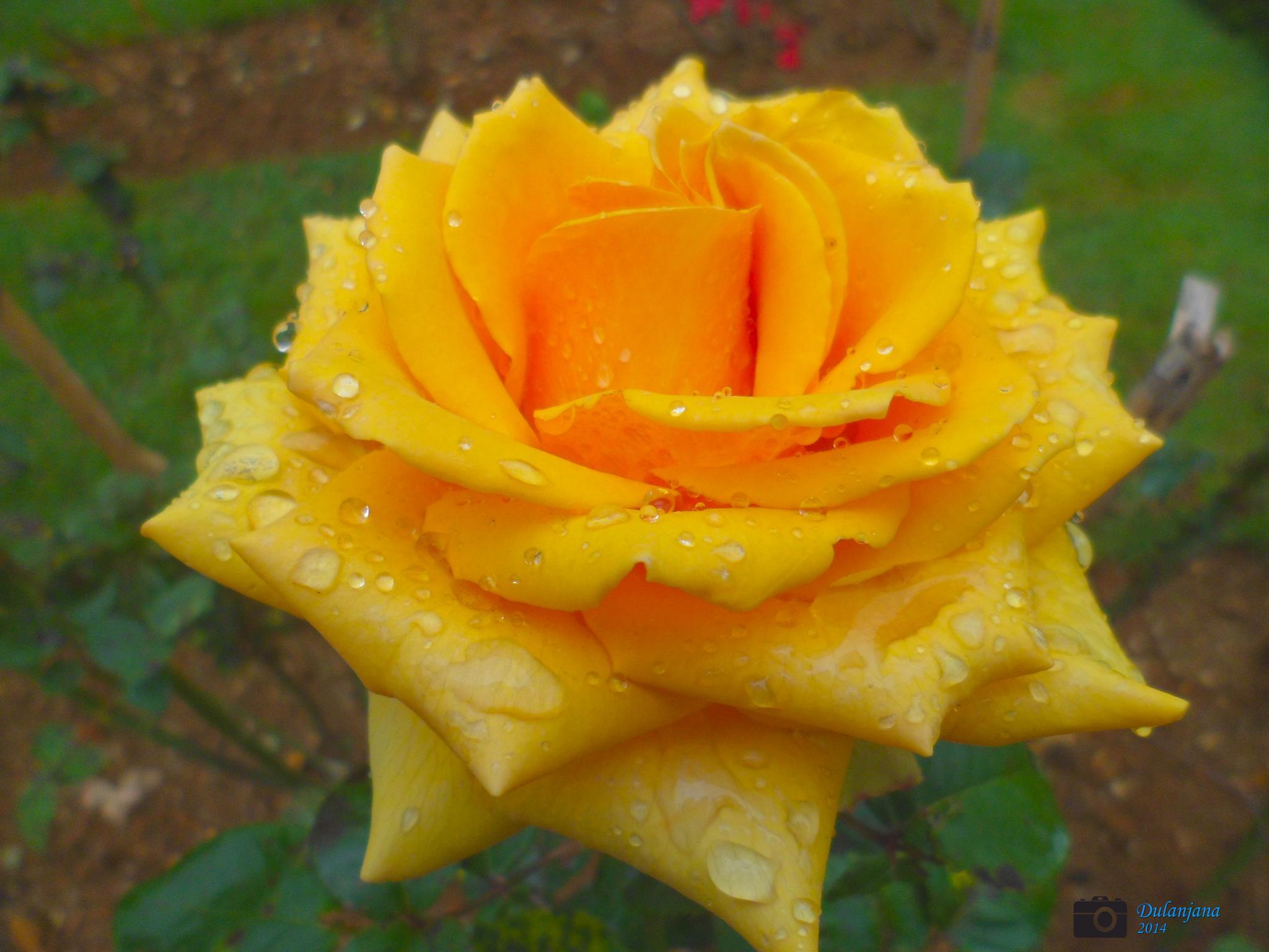 Rose simple definition : WoW  by Dulanjana
