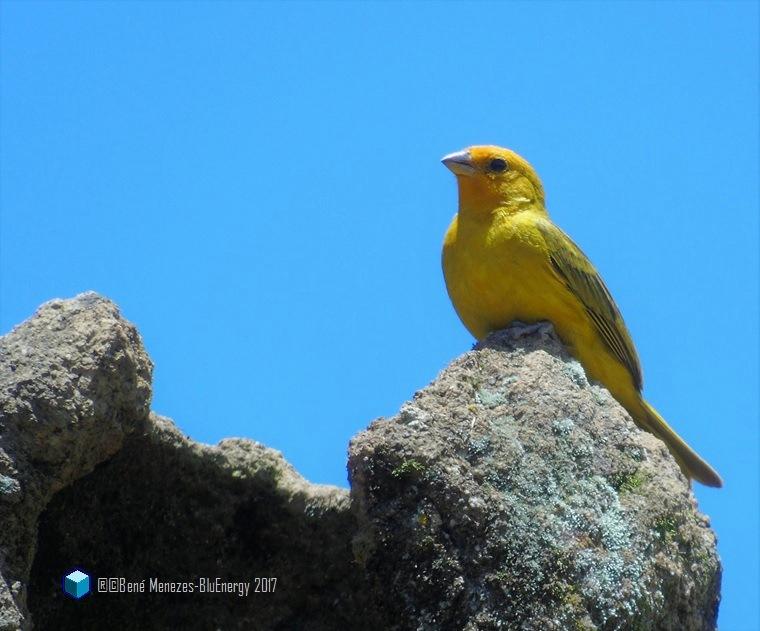 Yellow Brasilian Cannary by Bené Menezes