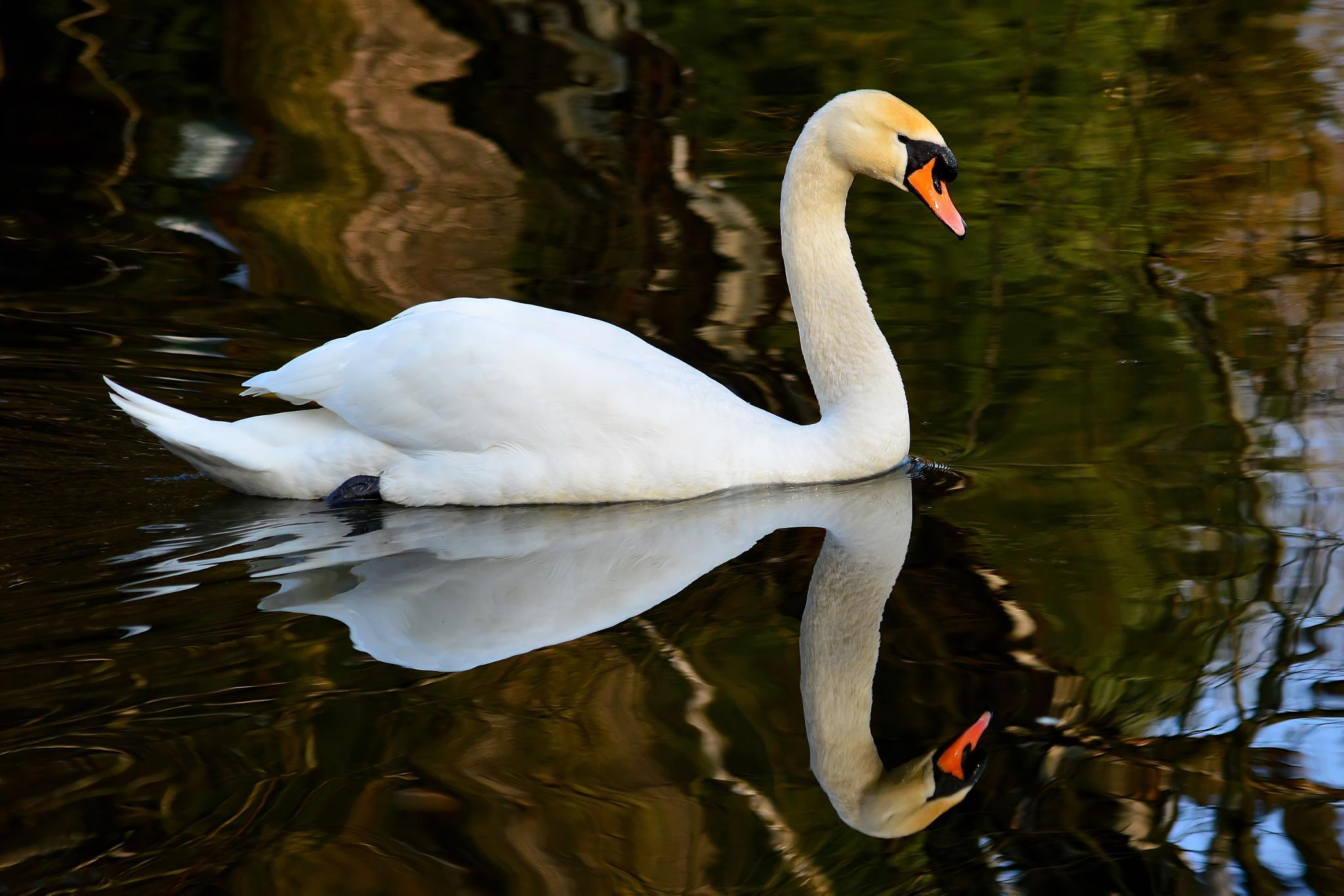 ...swan... by andrzej.sroda