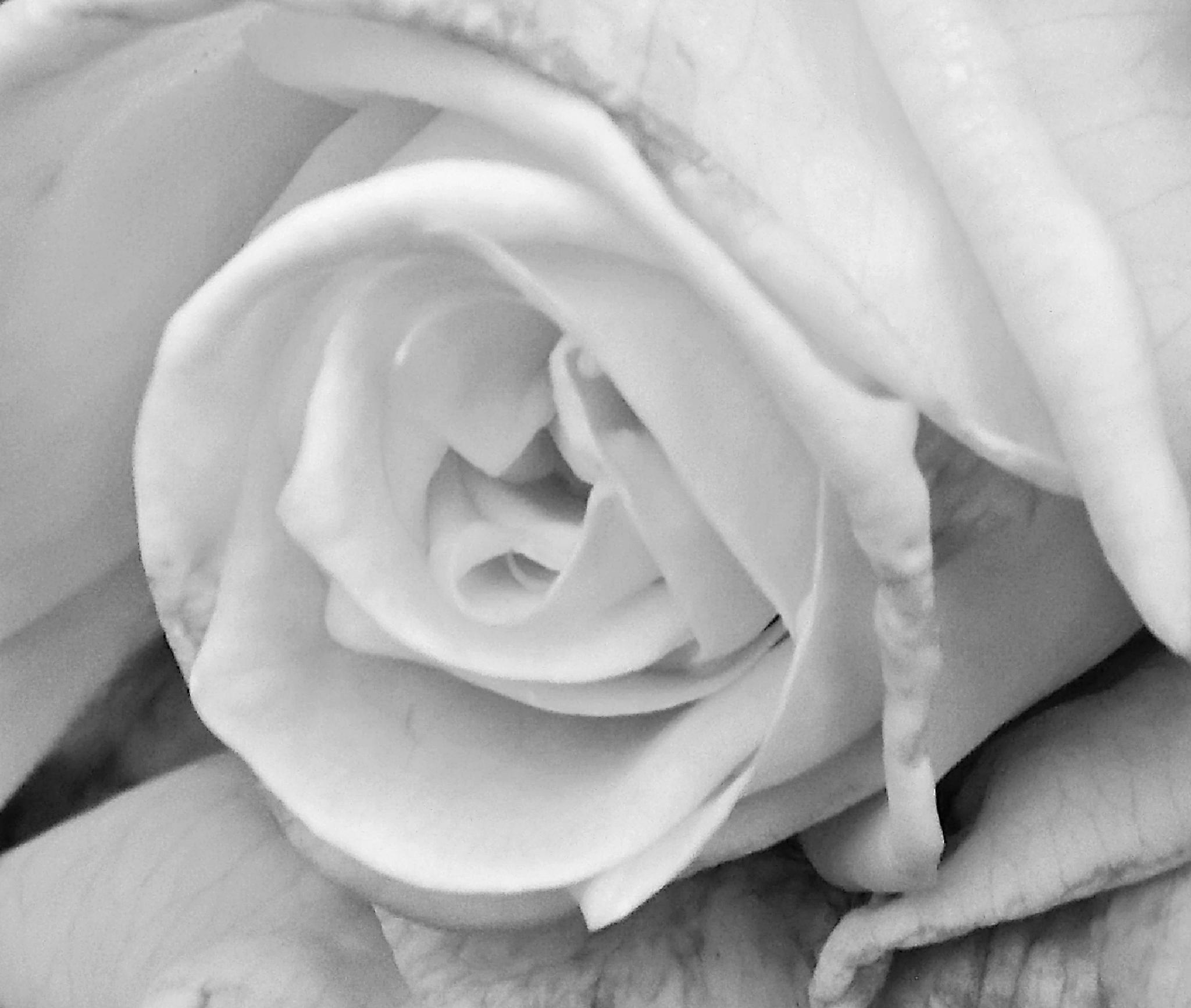 ... una rosa es una rosa ... by A. Castellano Rodriguez