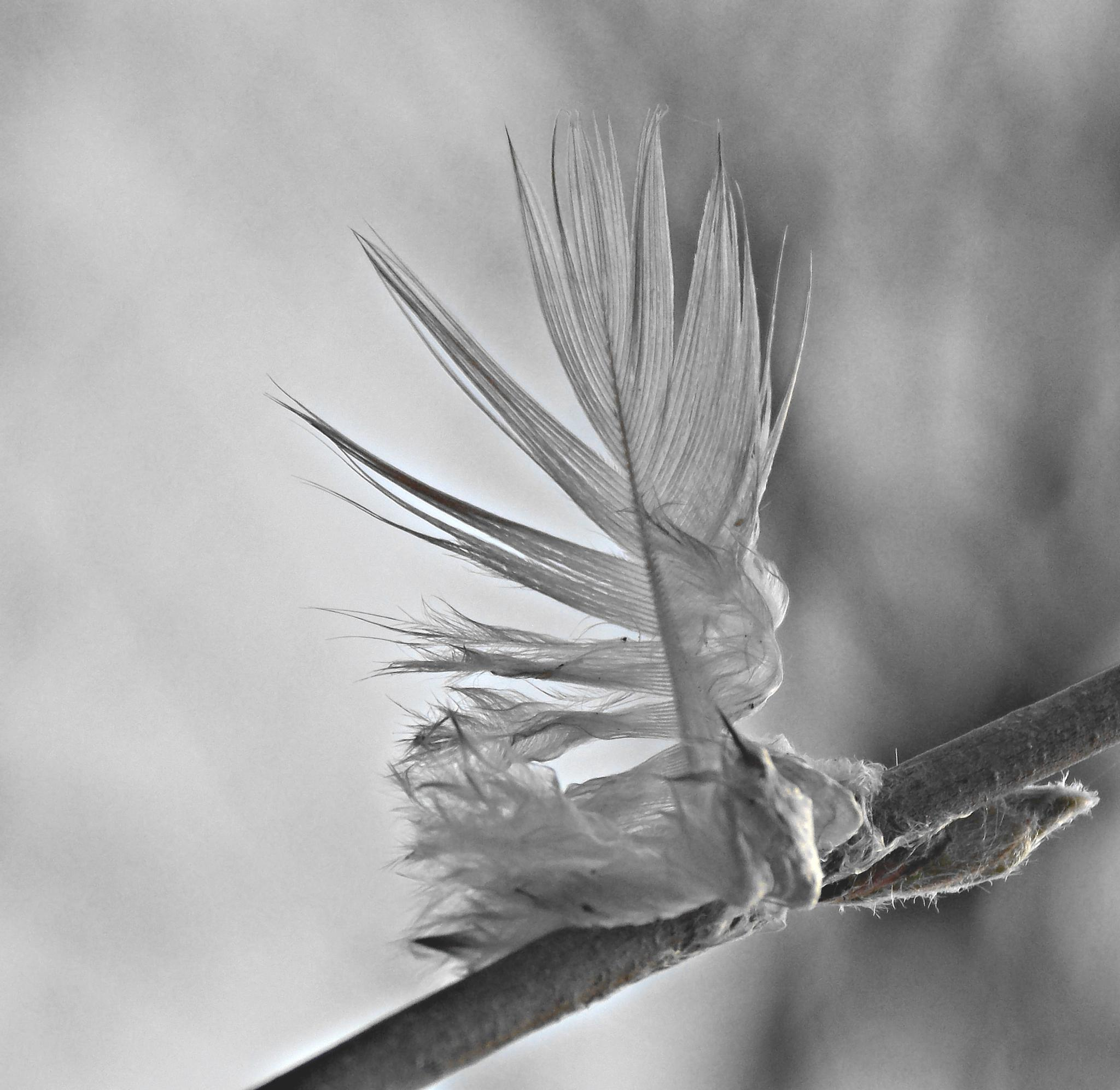Feather by A. Castellano Rodriguez