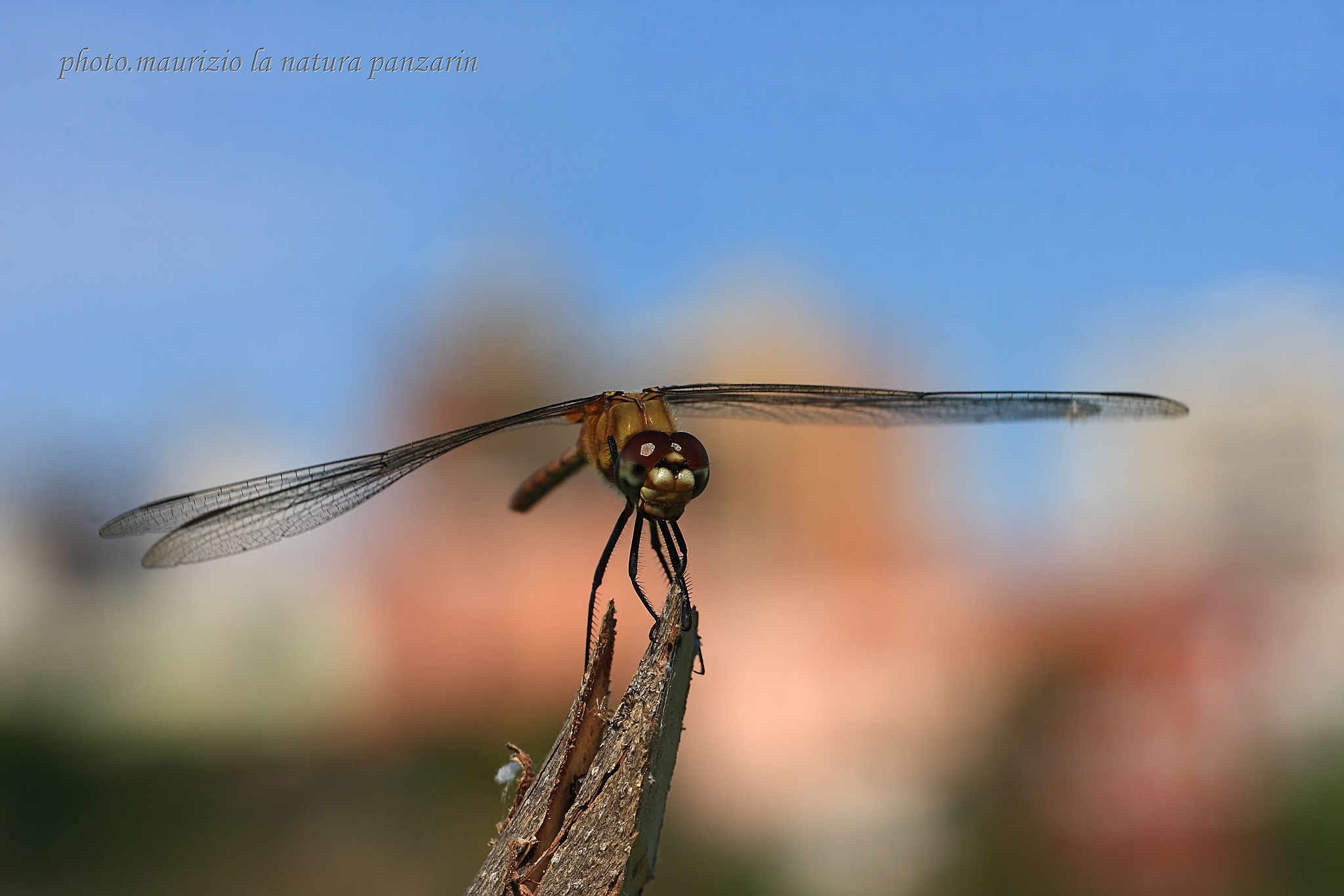 il riposo della libellula! by mauriziopanzarin