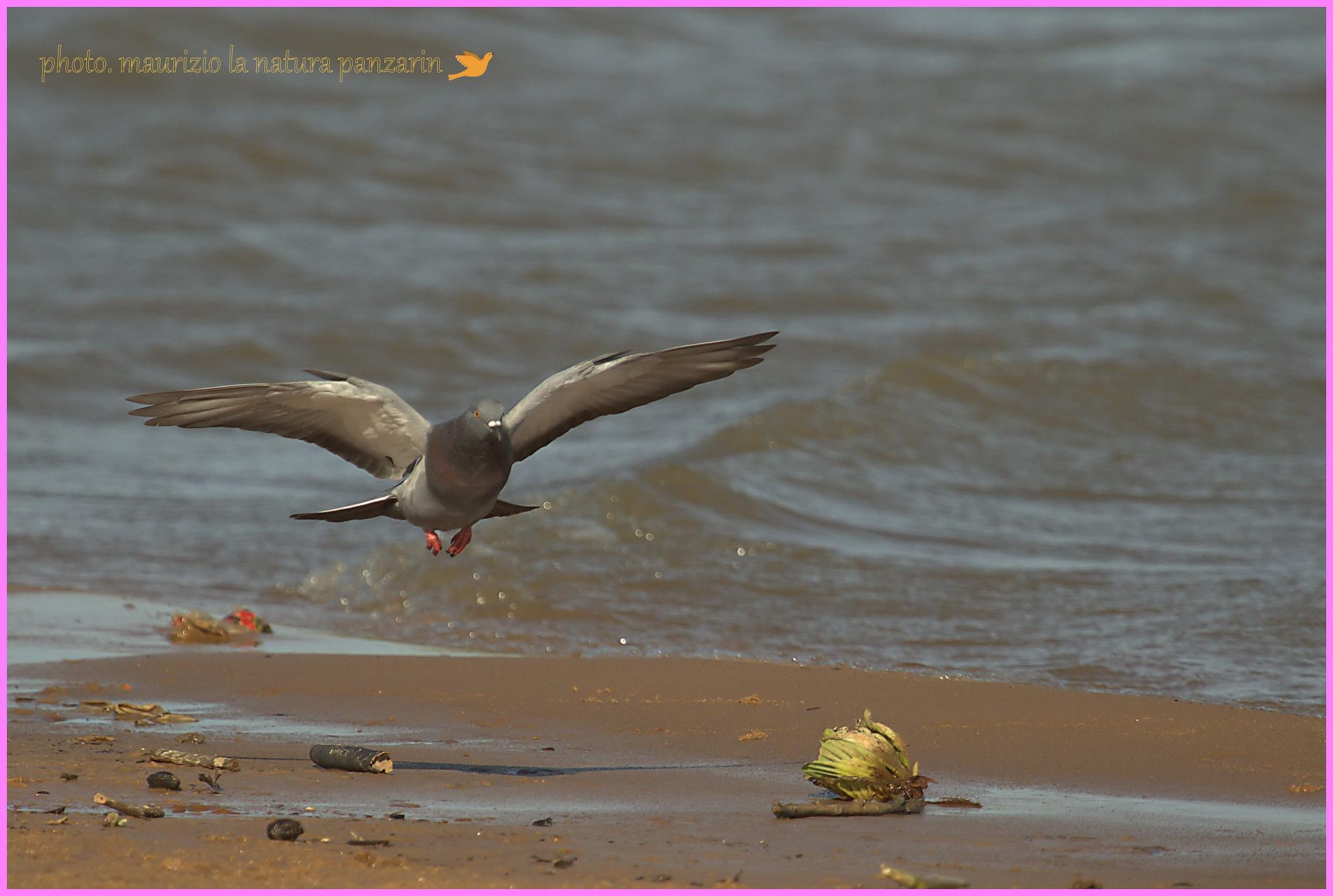 il piccione del rio! by mauriziopanzarin