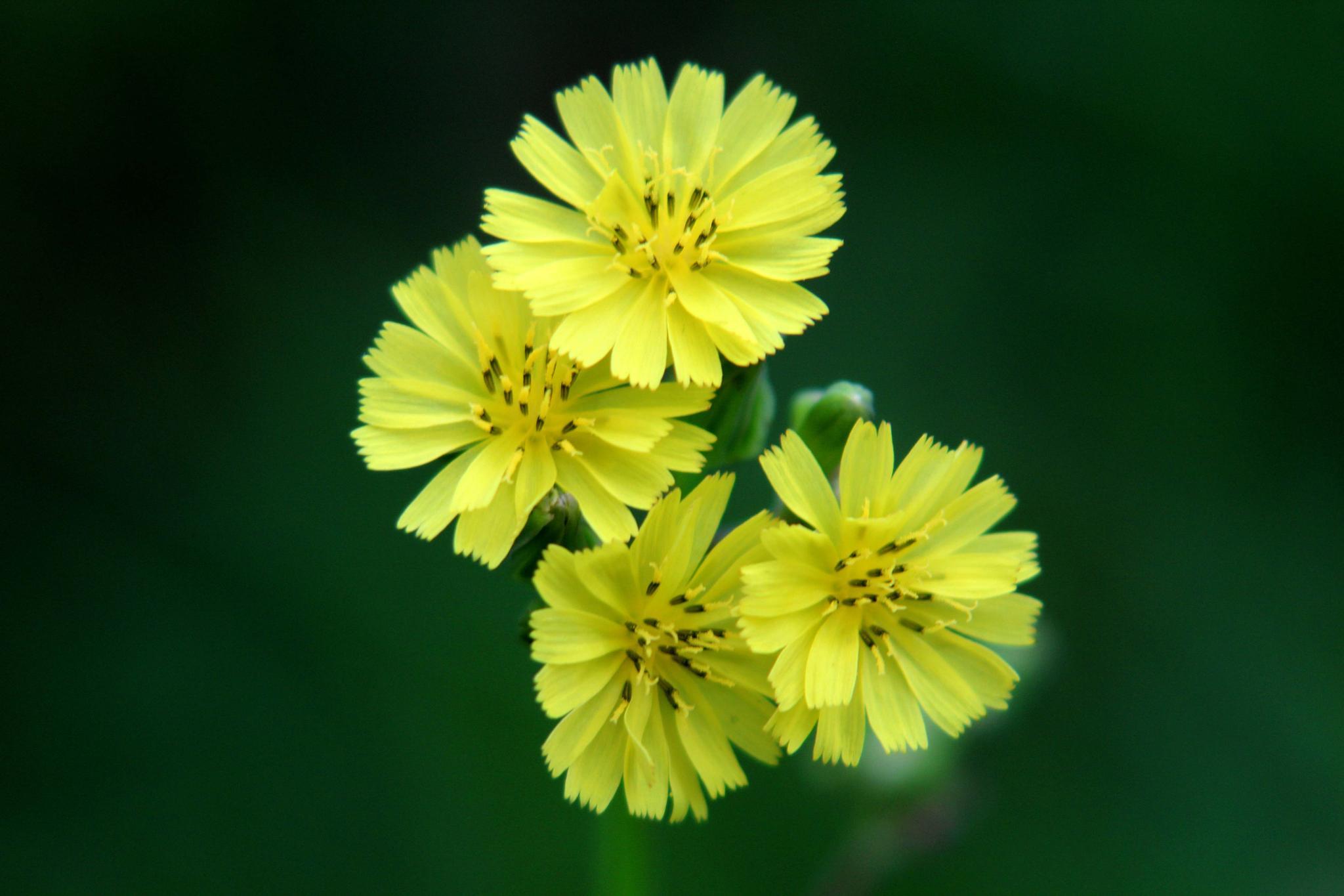Yellow Flowers by vani.hdz