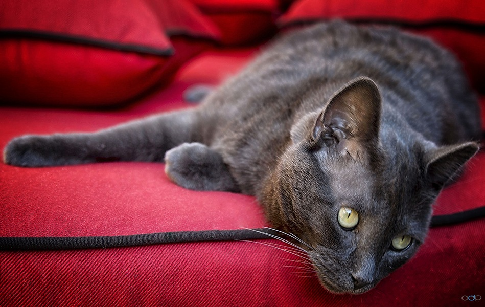 Cat on a red couch . . . by OneDigitalPlacePhotography